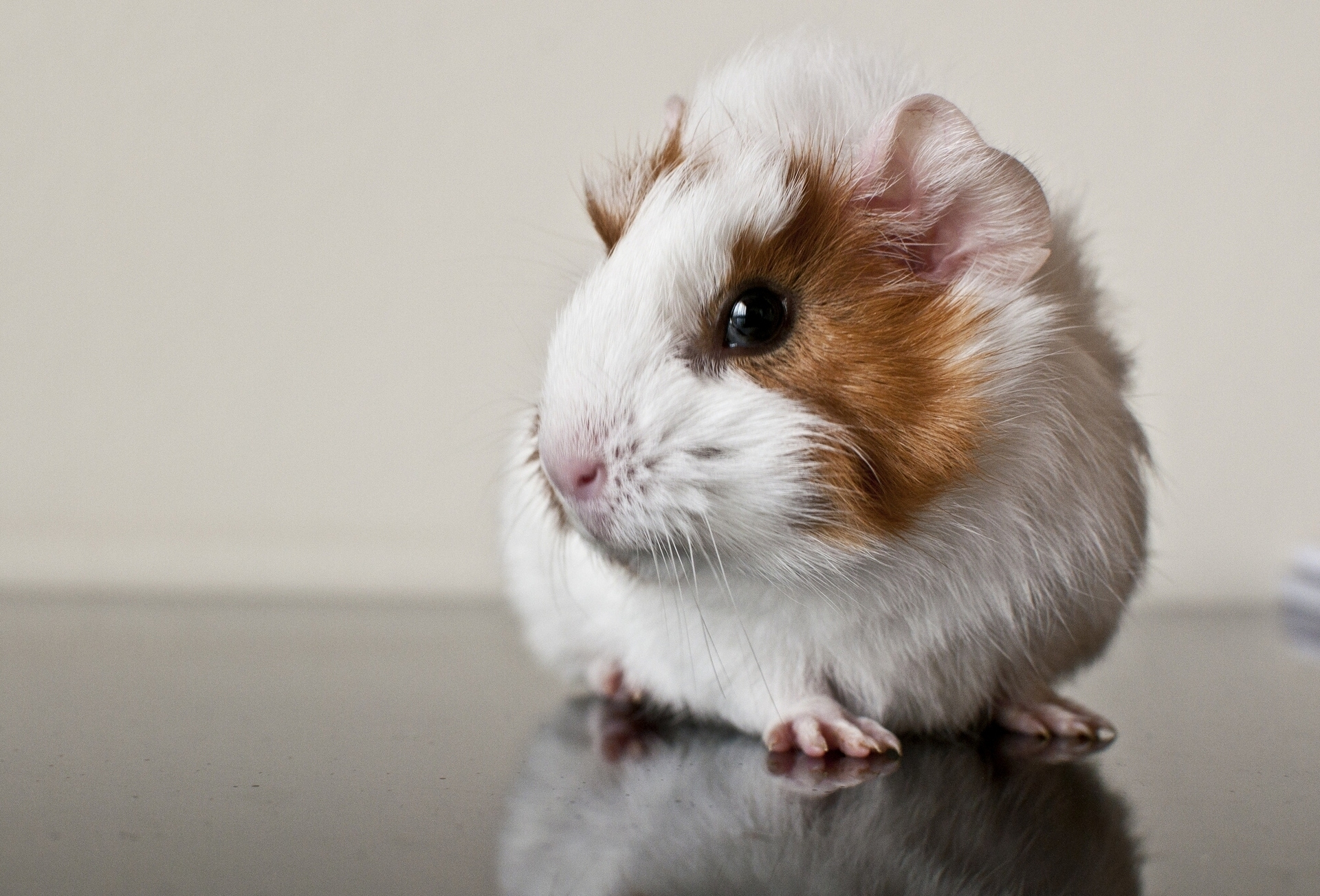 84518 download wallpaper Animals, Guinea Pig, Rodent, Spotted, Spotty screensavers and pictures for free