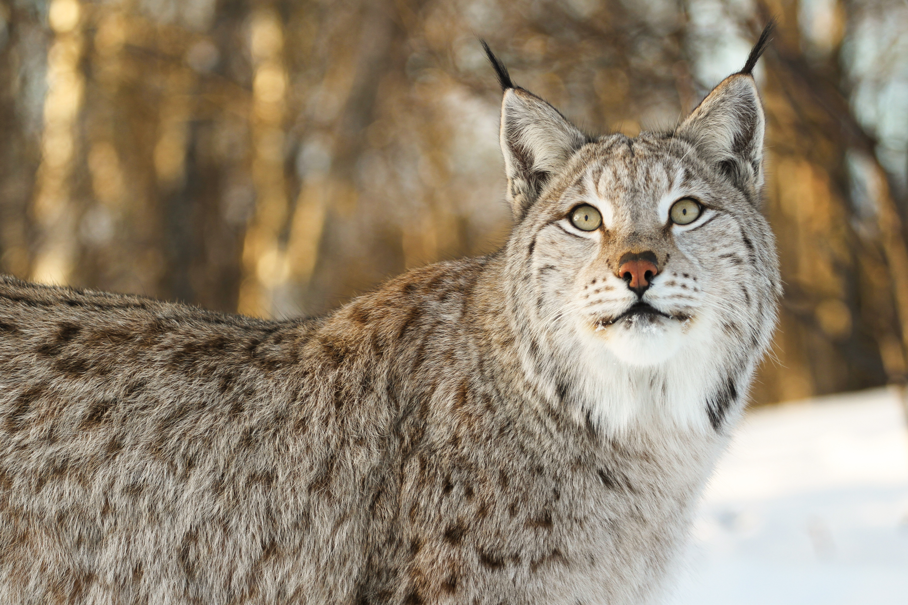 68797 download wallpaper Animals, Iris, Big Cat, Animal, Sight, Opinion screensavers and pictures for free
