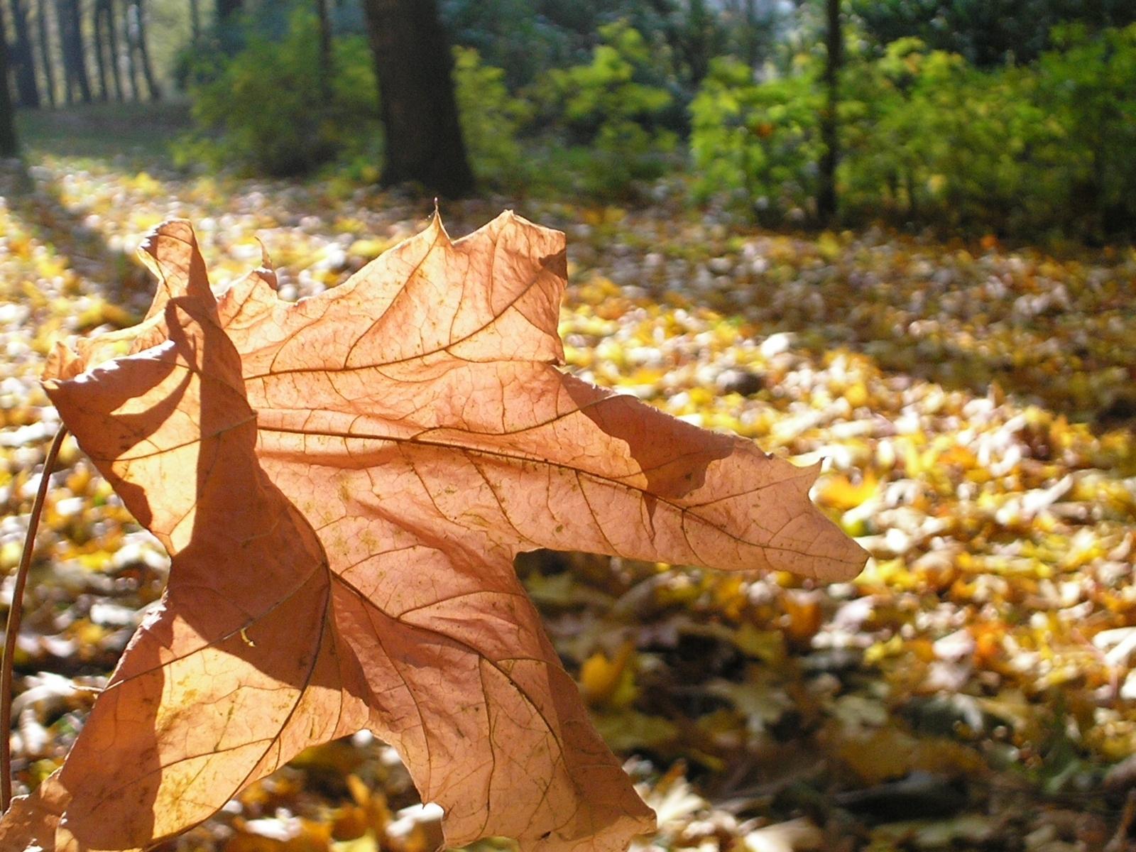 4602 скачать обои Растения, Осень, Листья - заставки и картинки бесплатно