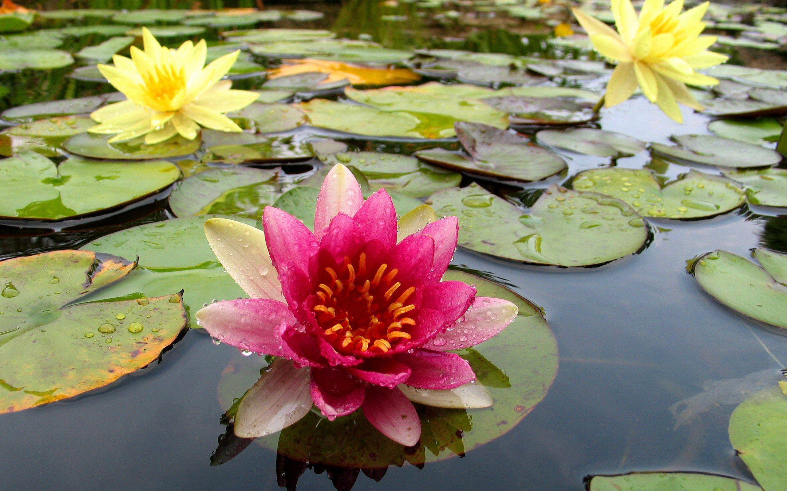 27453 скачать обои Растения, Цветы, Вода, Кувшинки - заставки и картинки бесплатно