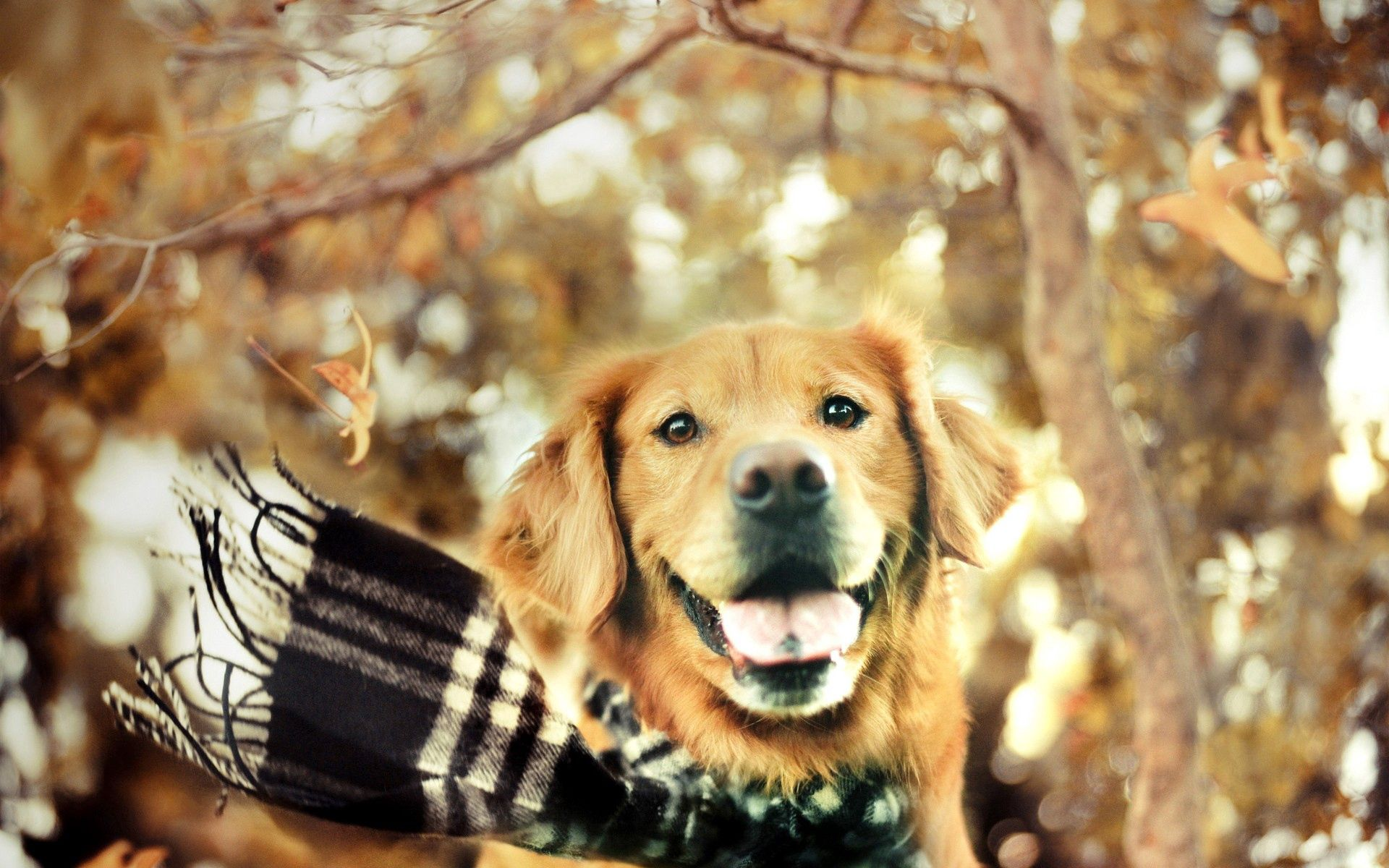 99835 Screensavers and Wallpapers Scarf for phone. Download Animals, Dog, Muzzle, Protruding Tongue, Tongue Stuck Out, Scarf pictures for free