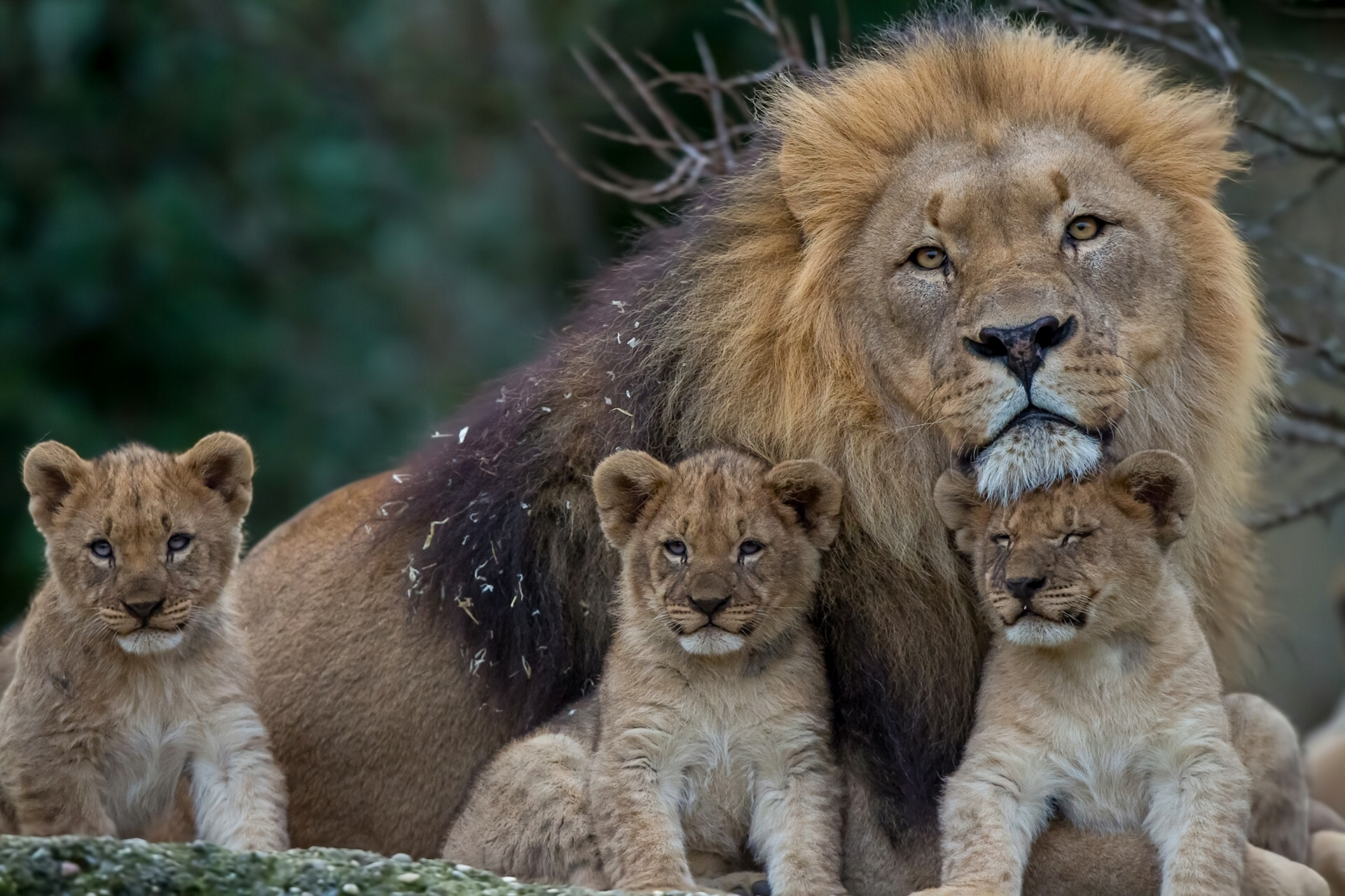 109529 download wallpaper Animals, Predators, Young, Lion, Lioness, Family, Cubs screensavers and pictures for free