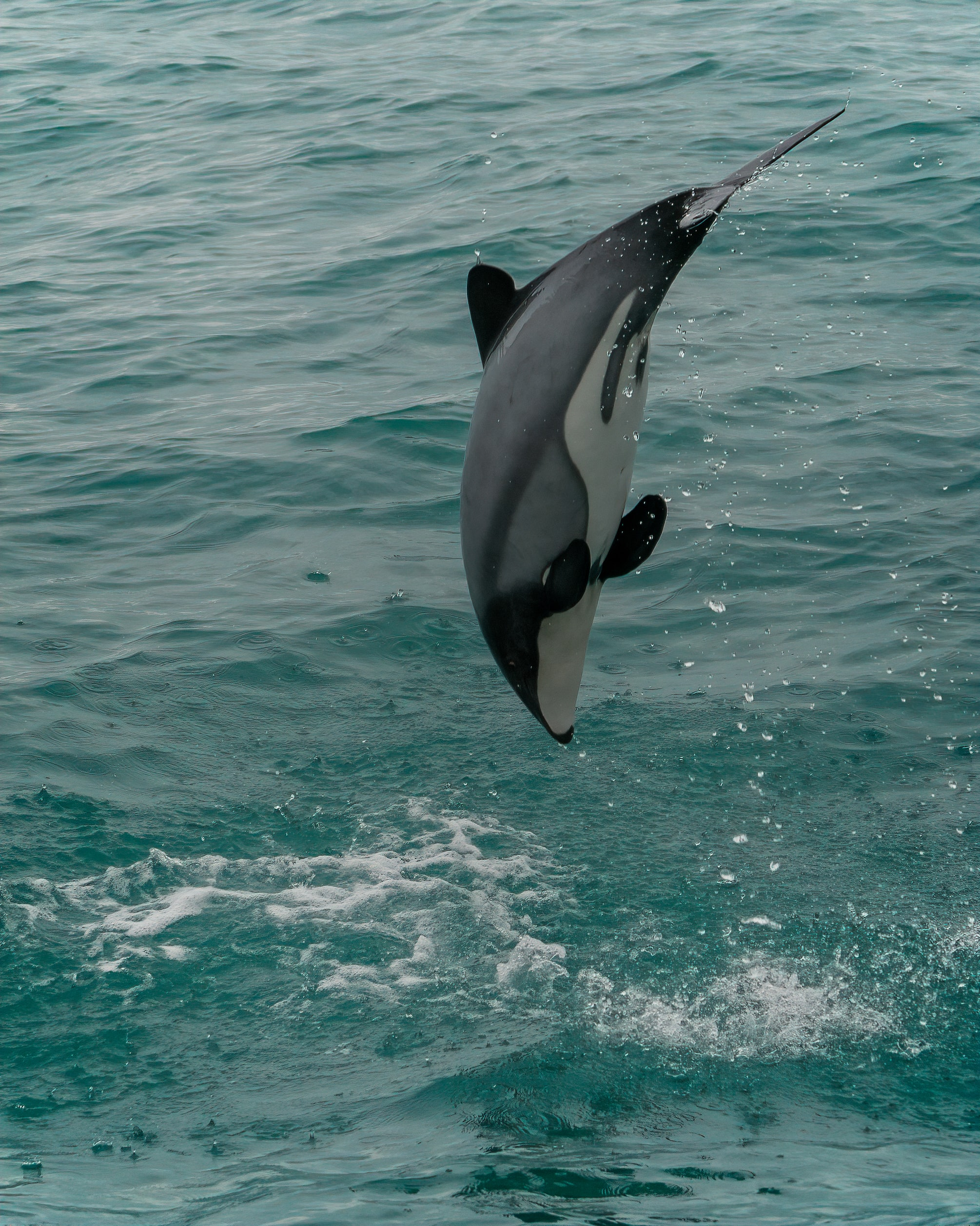 99117 download wallpaper Animals, White-Faced Dolphin, Dolphin, Animal, Splash screensavers and pictures for free