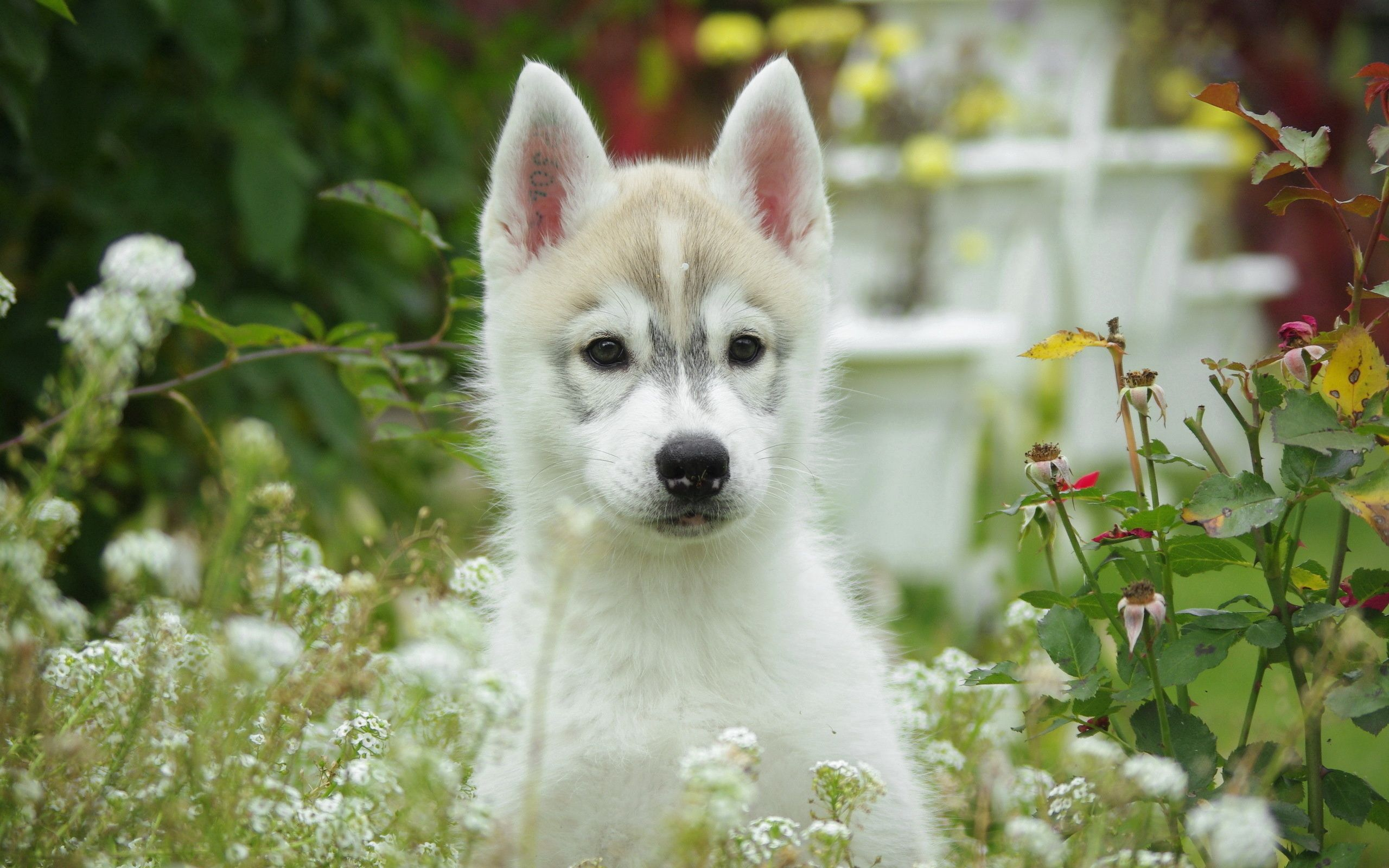 158140 Screensavers and Wallpapers Husky for phone. Download Husky, Animals, Flowers, Grass, Dog, Field, Puppy pictures for free