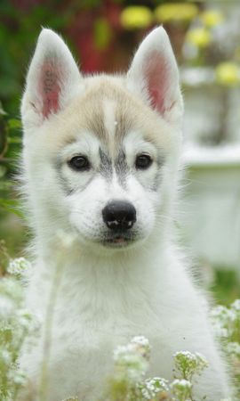 158140 download wallpaper Animals, Puppy, Dog, Husky, Grass, Field, Flowers screensavers and pictures for free