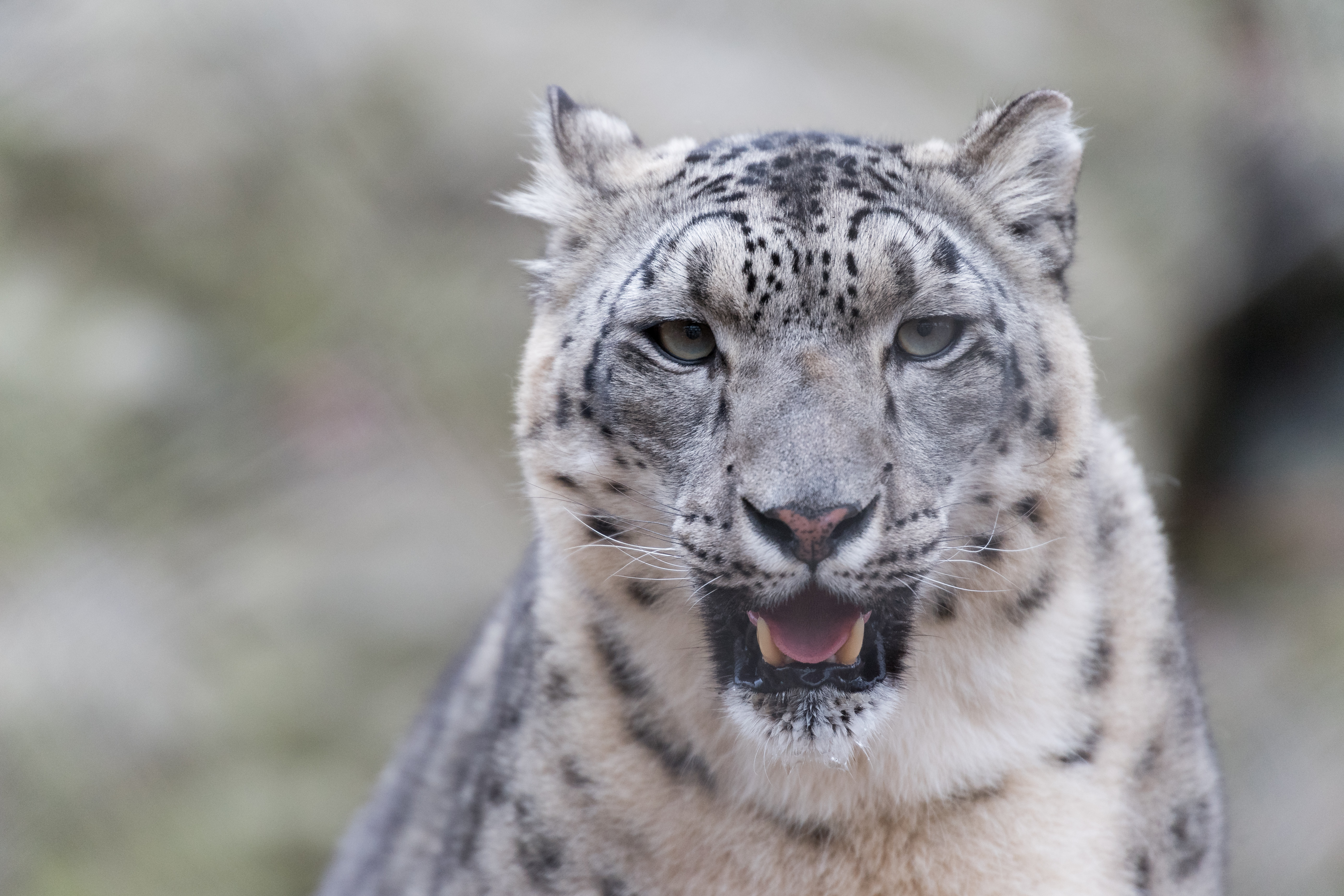 57495 download wallpaper Animals, Predator, Big Cat, Fangs, Snow Leopard screensavers and pictures for free