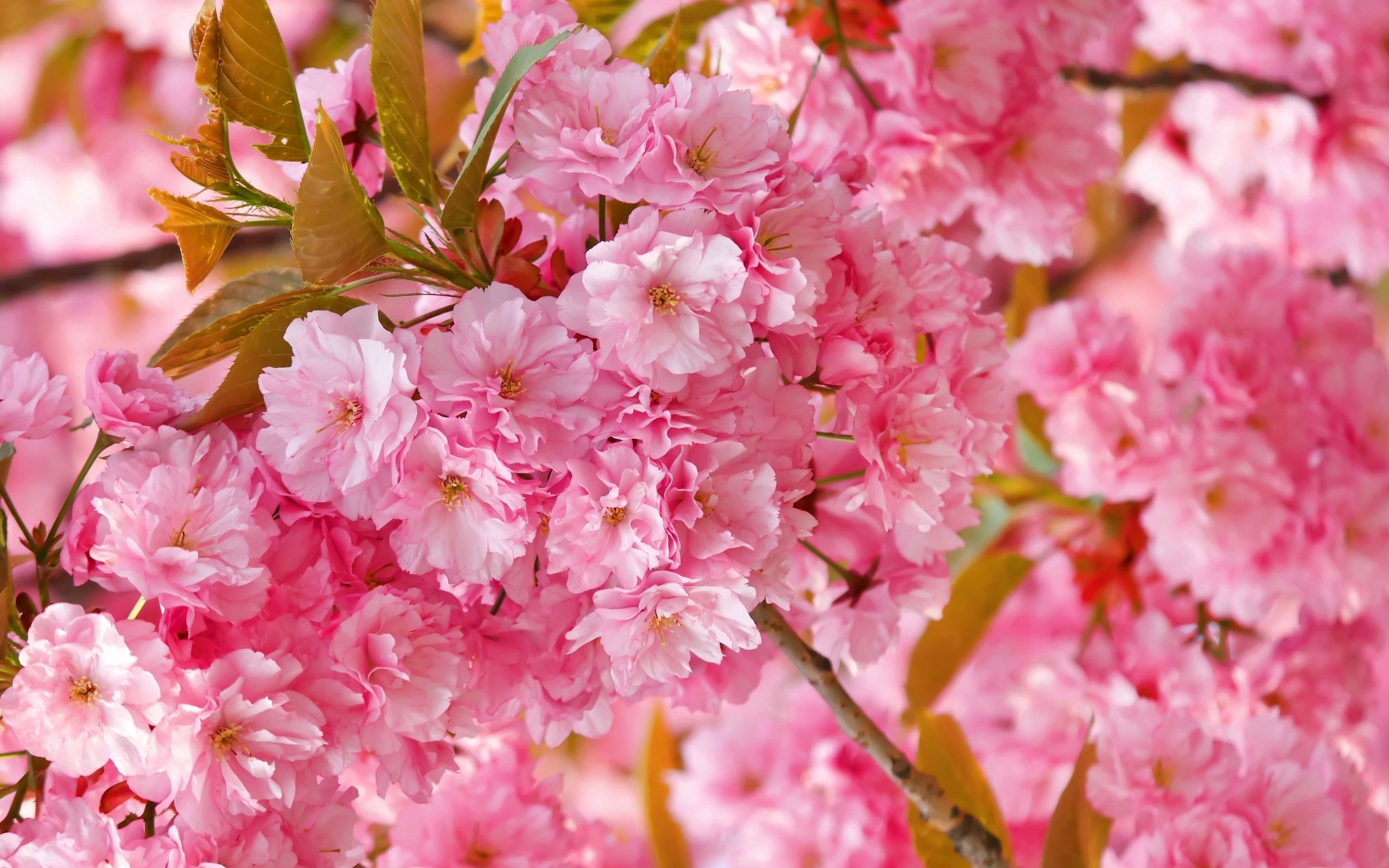 54658 Screensavers and Wallpapers Bloom for phone. Download Flowers, Pink, Macro, Bloom, Flowering pictures for free