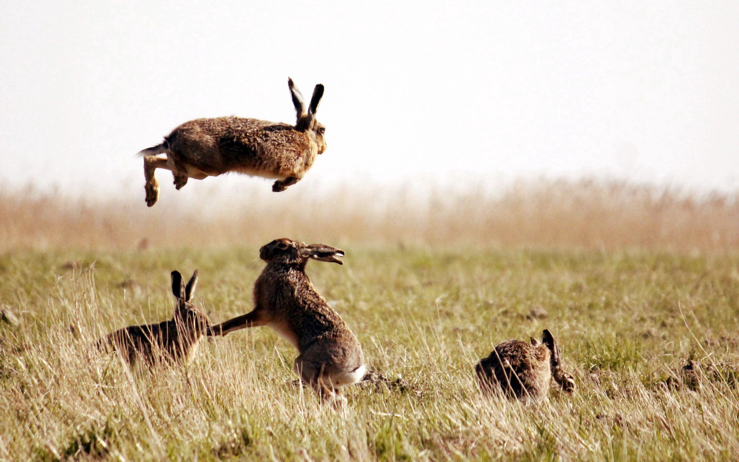 111496 Hintergrundbild herunterladen Tiere, Grass, Feld, Prallen, Springen, Hasen - Bildschirmschoner und Bilder kostenlos