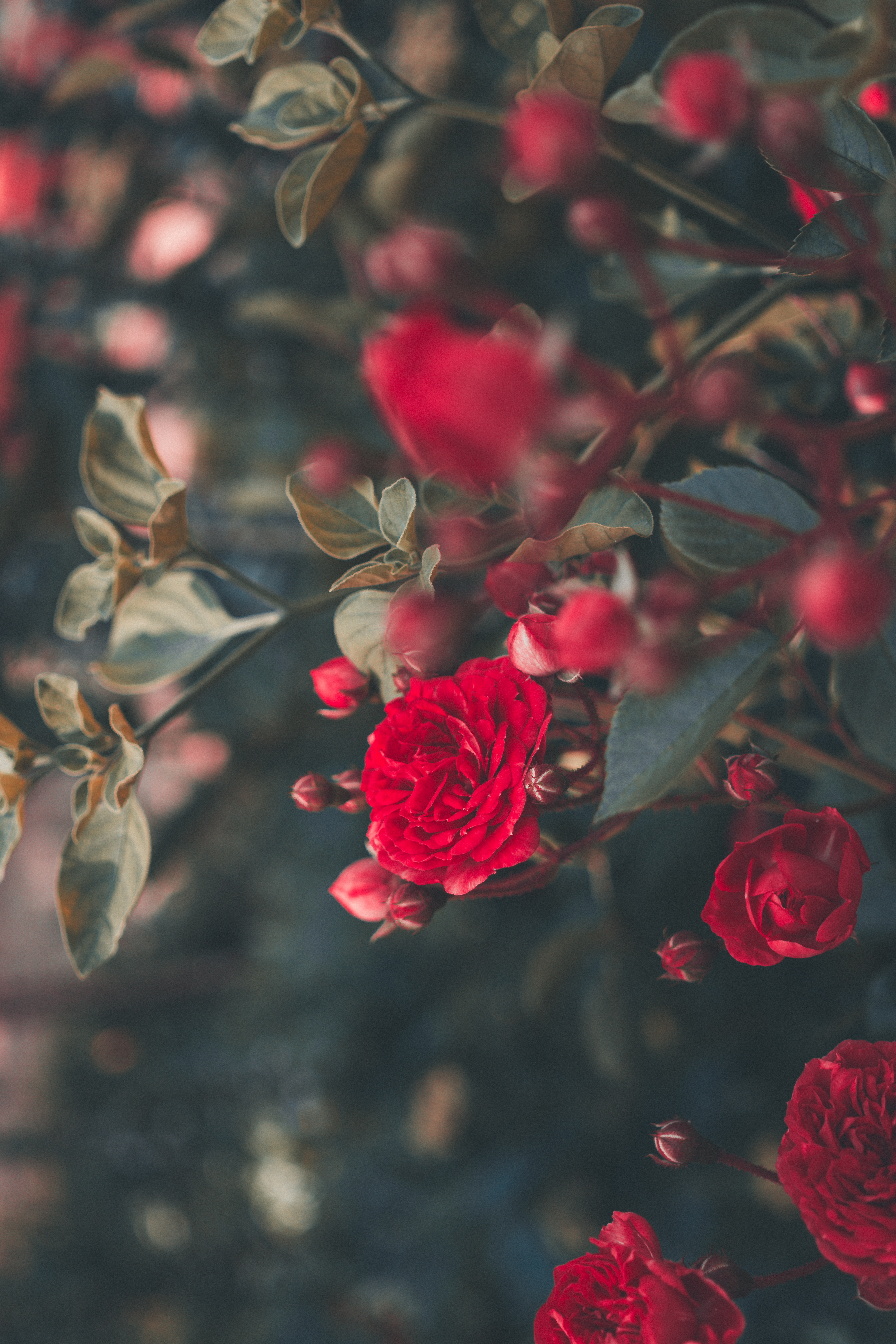 113839 download wallpaper Smooth, Flowers, Bush, Rose Flower, Rose, Blur, Bloom, Flowering, Garden screensavers and pictures for free