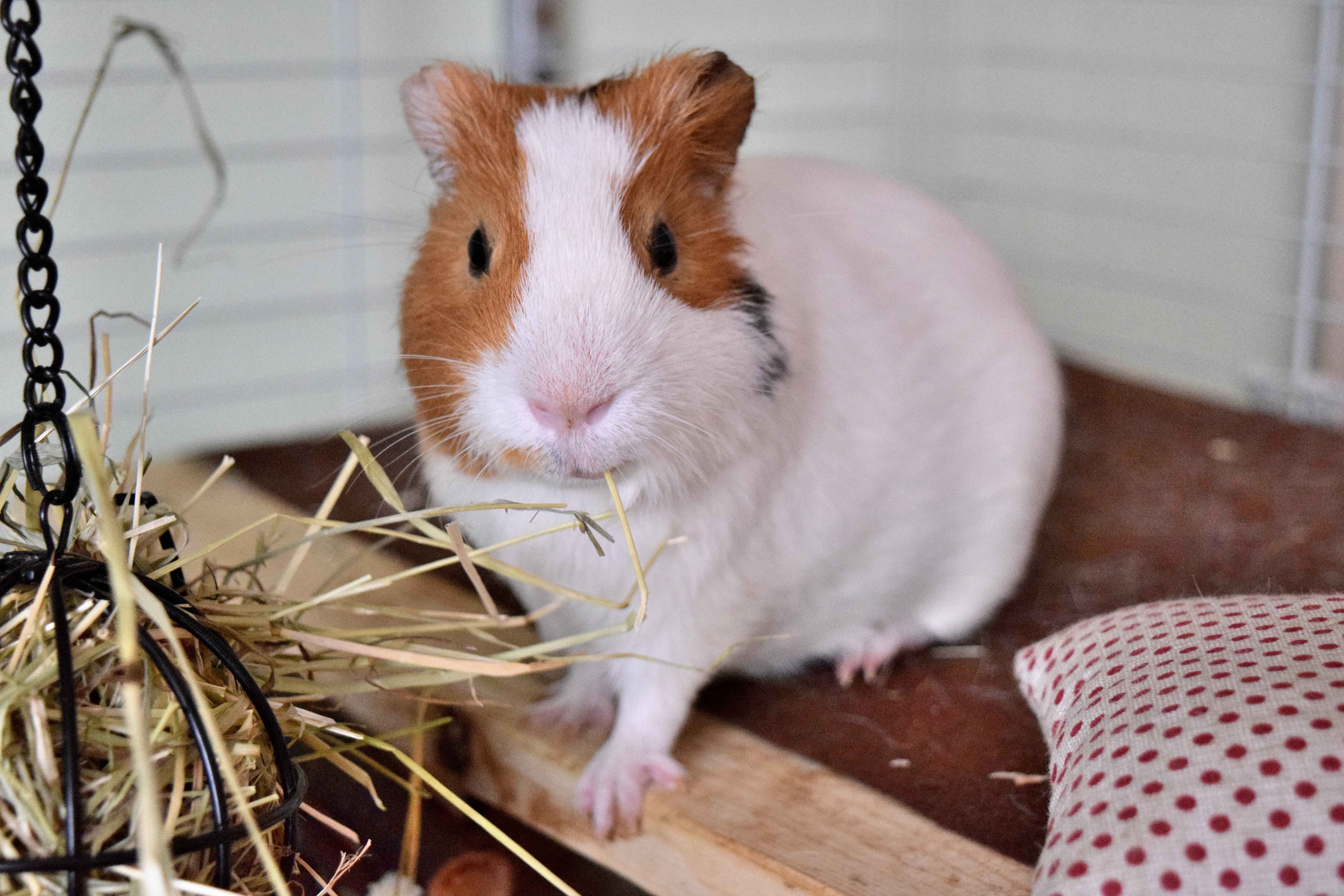 91530 download wallpaper Animals, Guinea Pig, Rodent, Cell, Cage screensavers and pictures for free