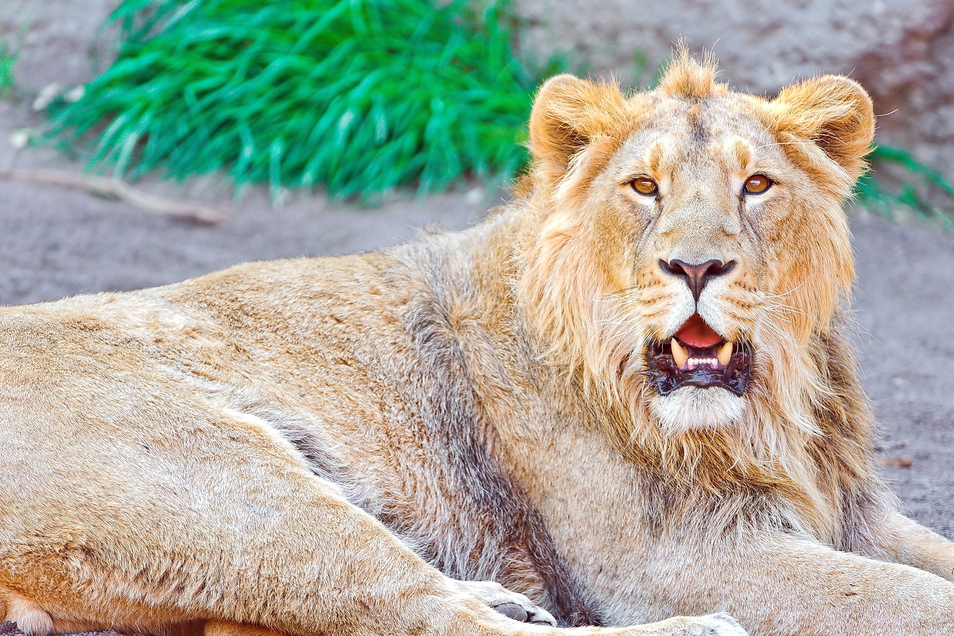 111568 download wallpaper Animals, Lion, To Lie Down, Lie, Open Mouth screensavers and pictures for free