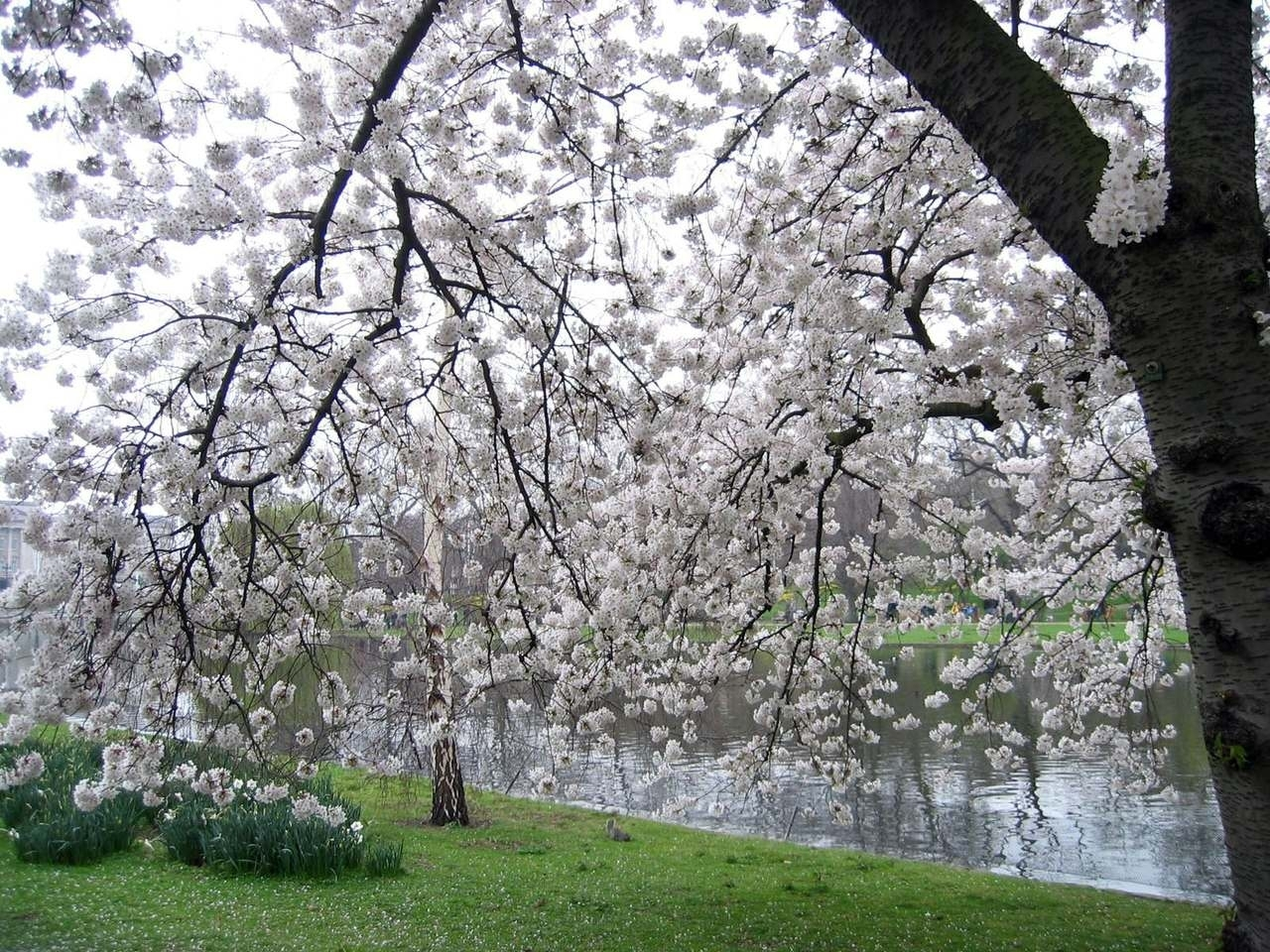 1848 download wallpaper Landscape, Flowers, Water, Trees, Cherry screensavers and pictures for free