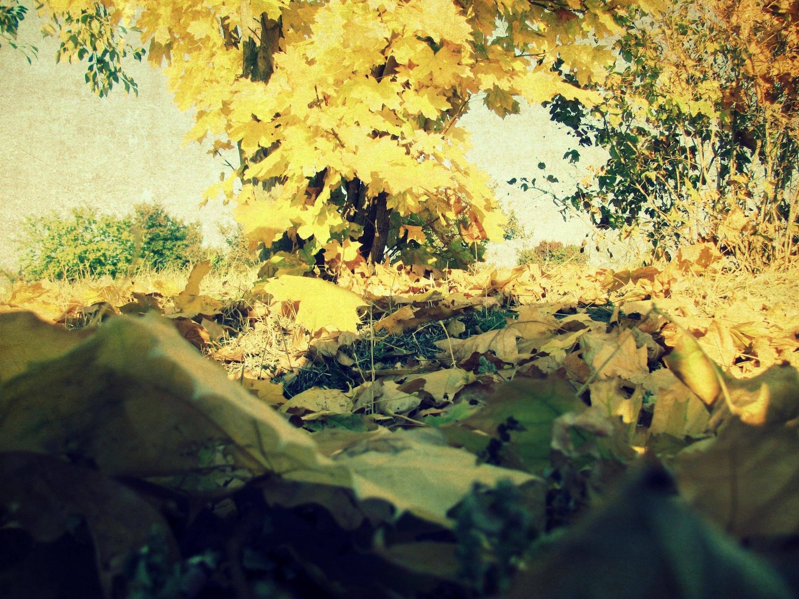 59378 скачать обои Природа, Листва, Осень, Клен, Ворох, Трава, Дерево - заставки и картинки бесплатно