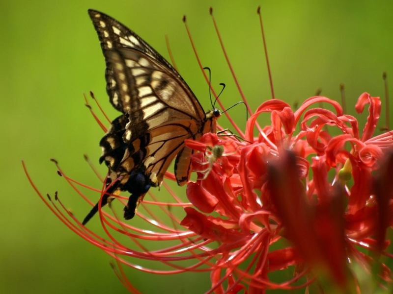 36223 download wallpaper Butterflies, Insects screensavers and pictures for free