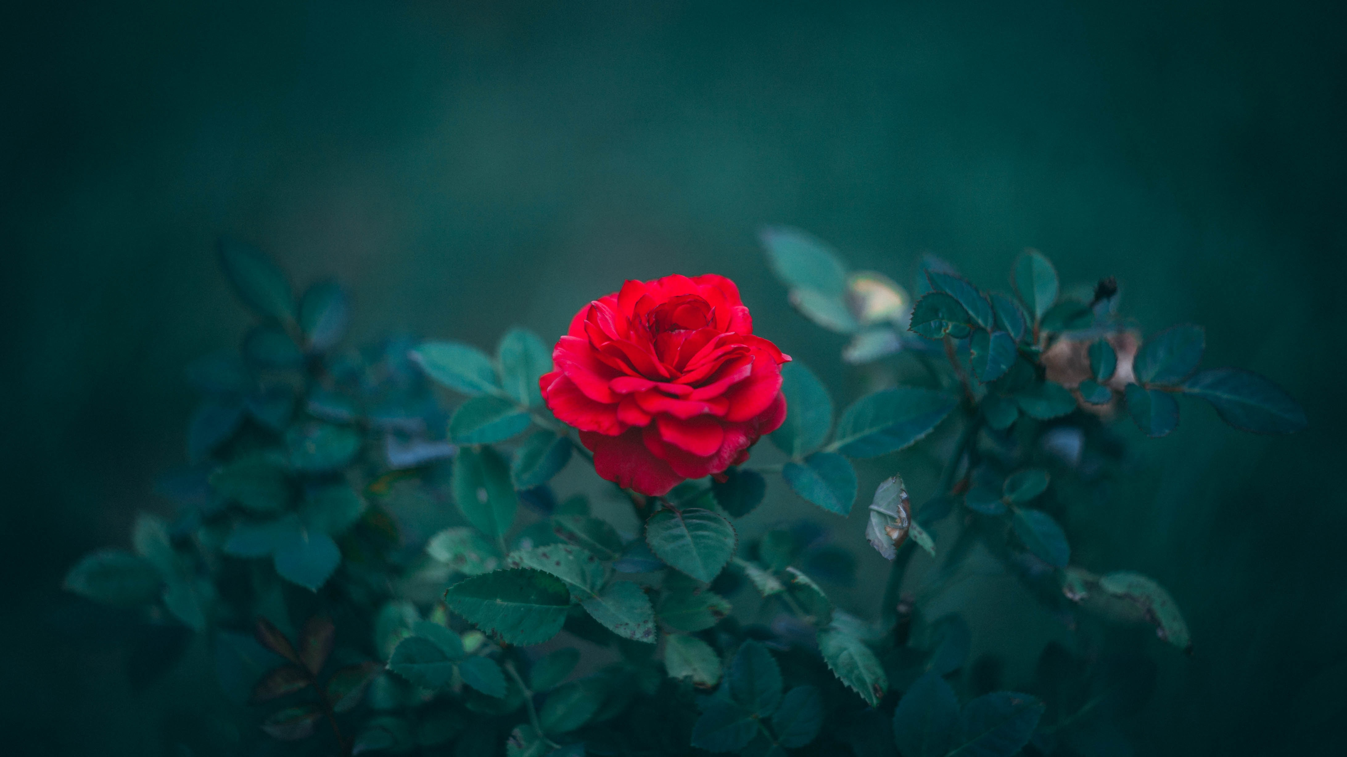 86493 download wallpaper Flowers, Leaves, Bush, Rose Flower, Rose, Bud, Blur, Smooth screensavers and pictures for free