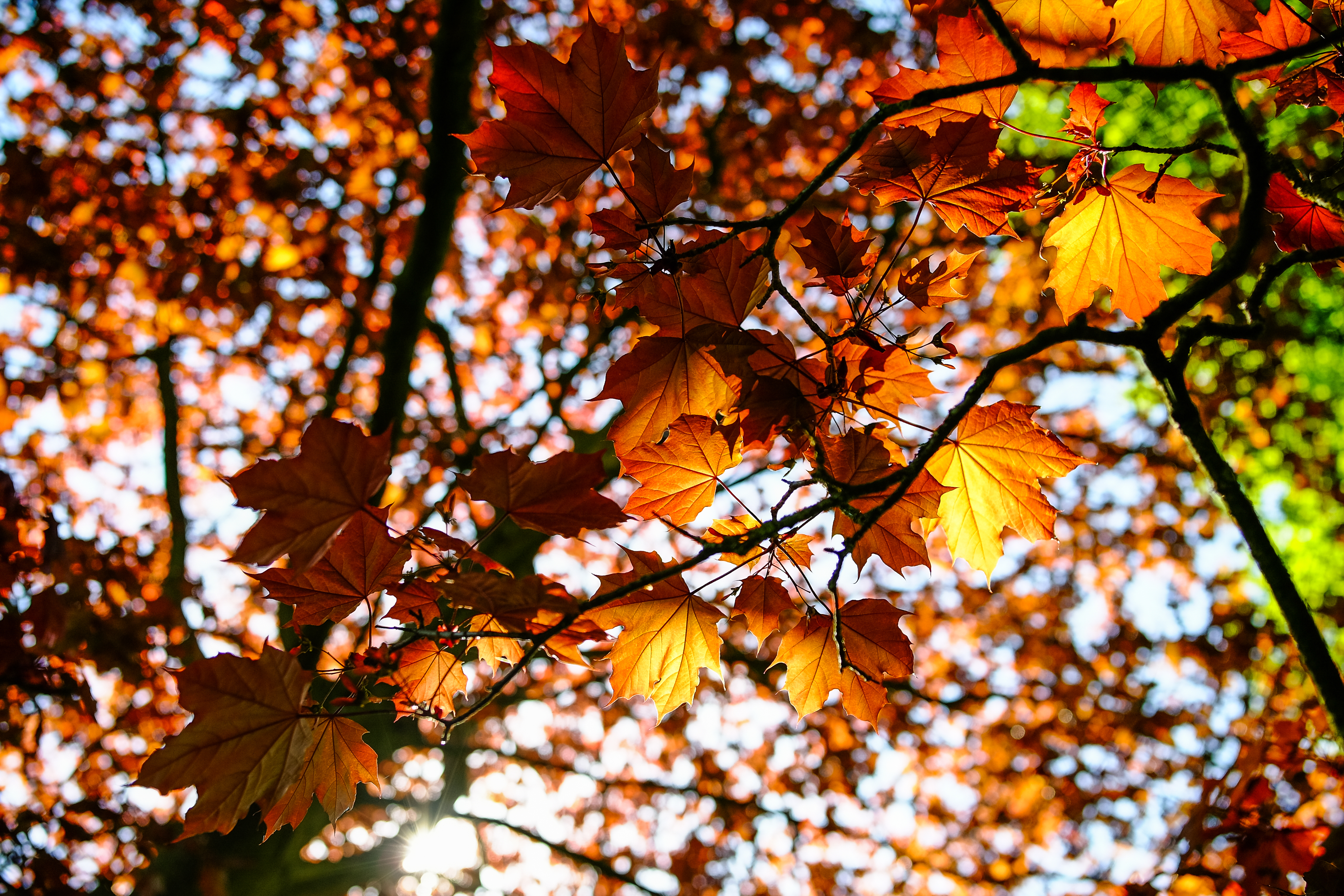 87399 download wallpaper Nature, Leaves, Maple, Branch, Beams, Rays screensavers and pictures for free