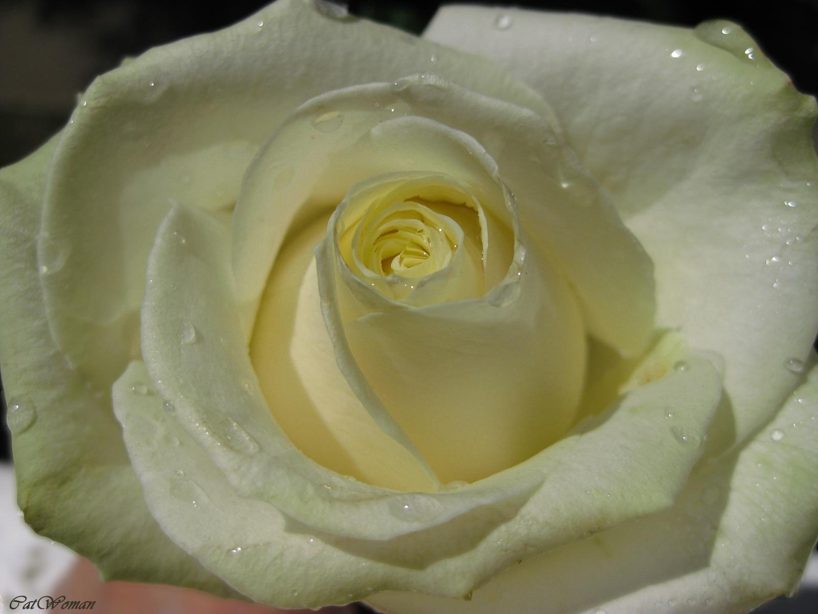 512 скачать обои Растения, Цветы, Розы - заставки и картинки бесплатно
