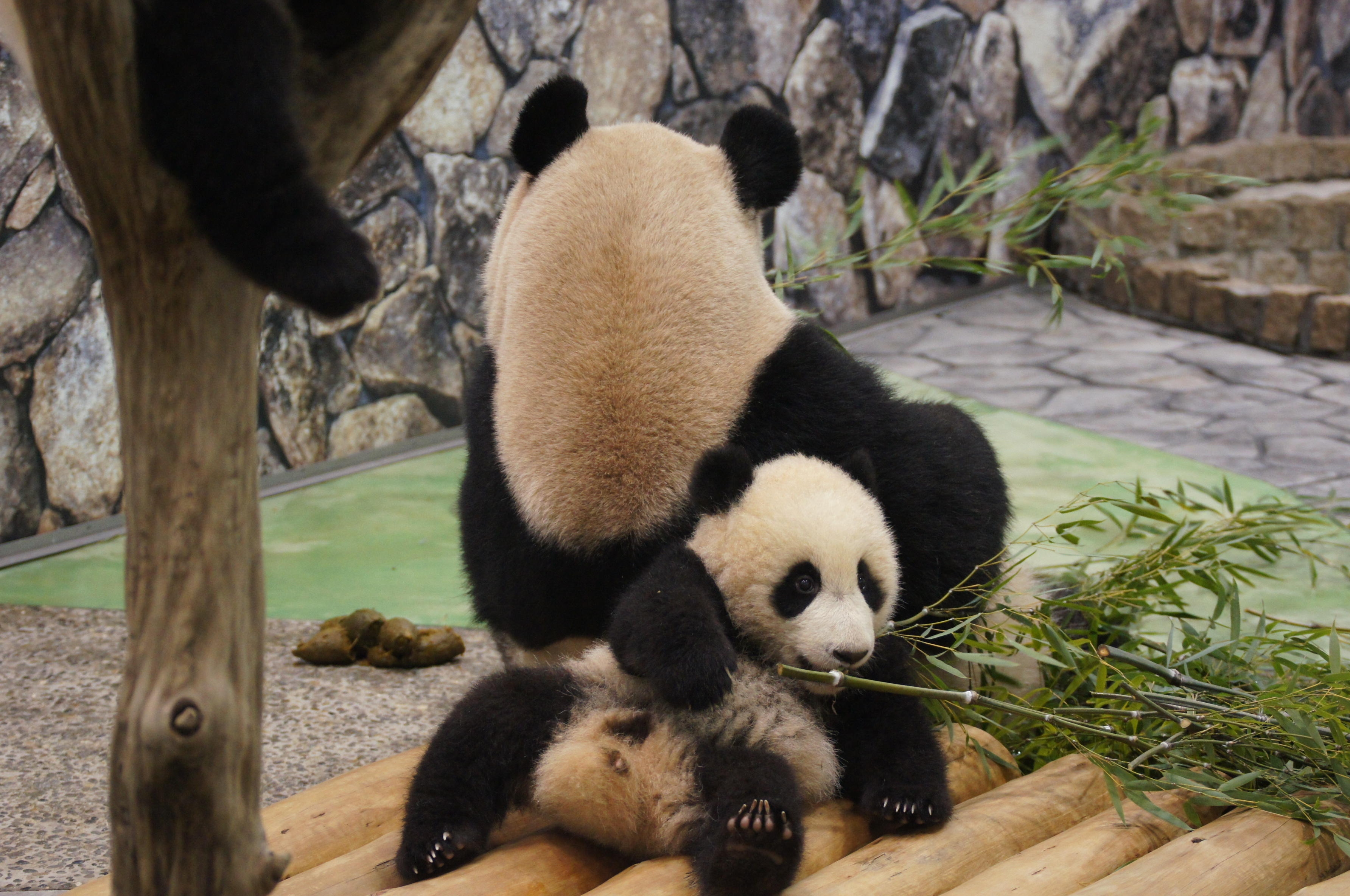 108003 download wallpaper Animals, Grass, To Lie Down, Lie, Relaxation, Rest, Pandas screensavers and pictures for free