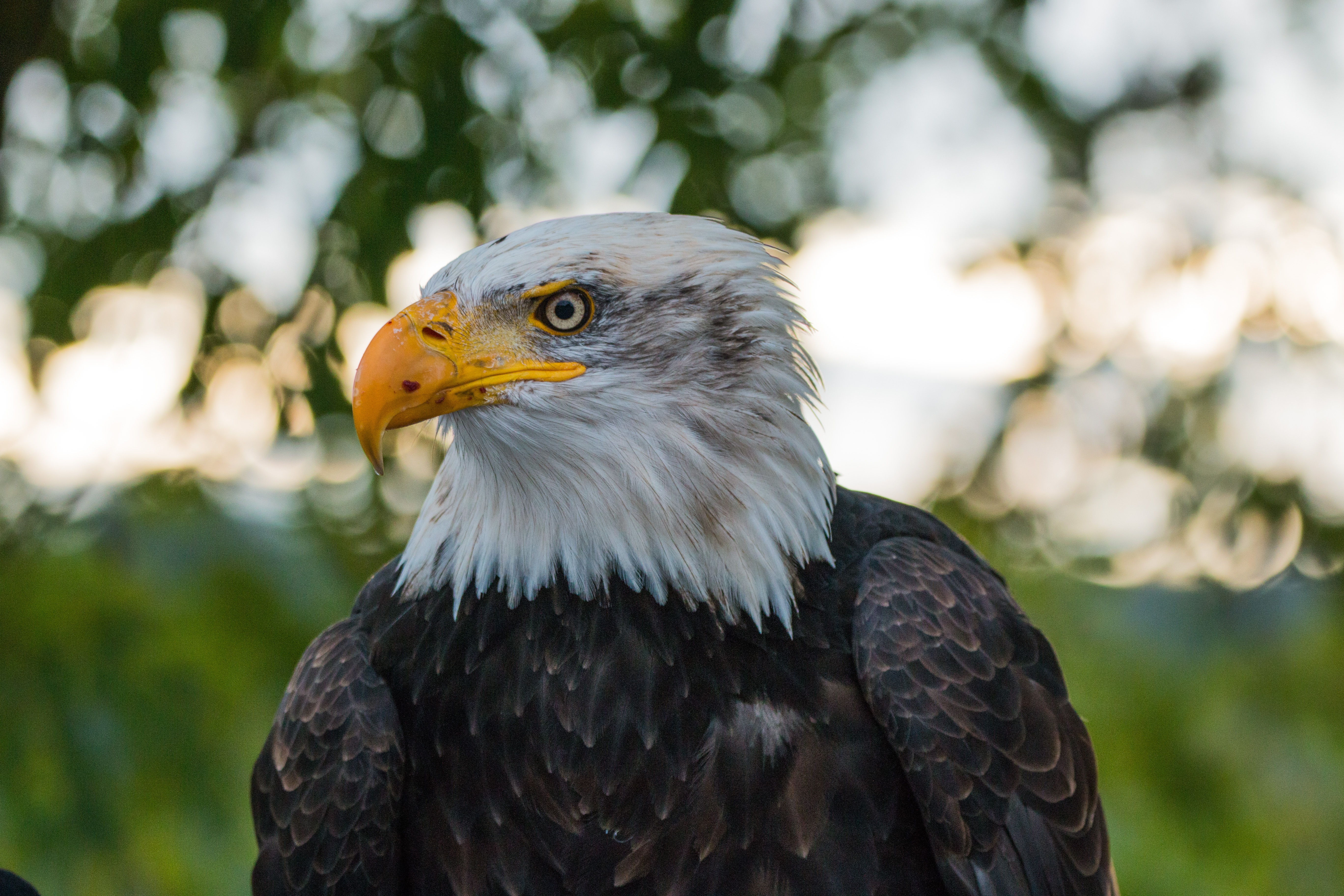 113270 download wallpaper Animals, Bald Eagle, White-Headed Eagle, Eagle, Bird, Predator screensavers and pictures for free