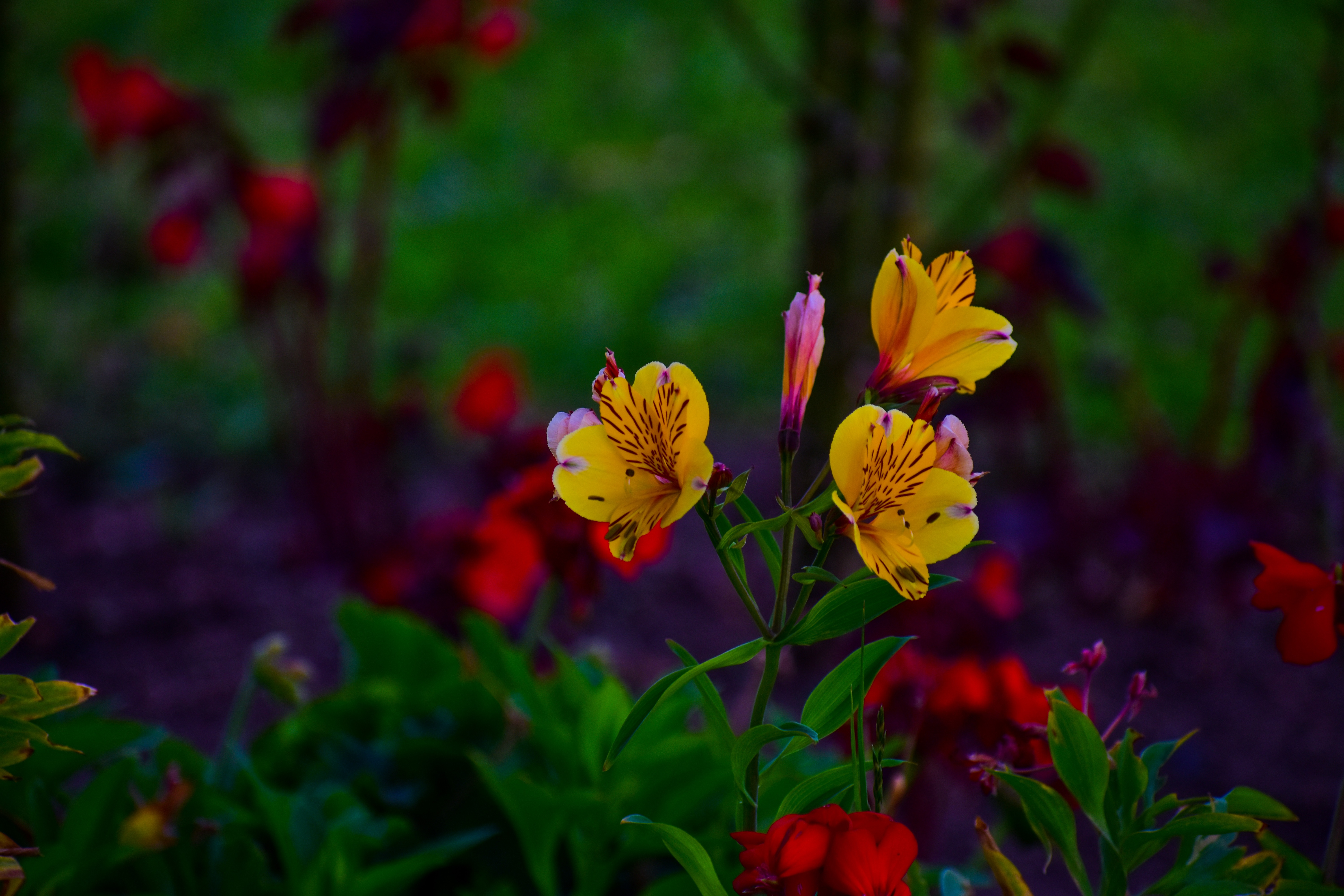 113430 Screensavers and Wallpapers Flower Bed for phone. Download Flowers, Bloom, Flowering, Alstroemeria, Flower Bed, Flowerbed pictures for free