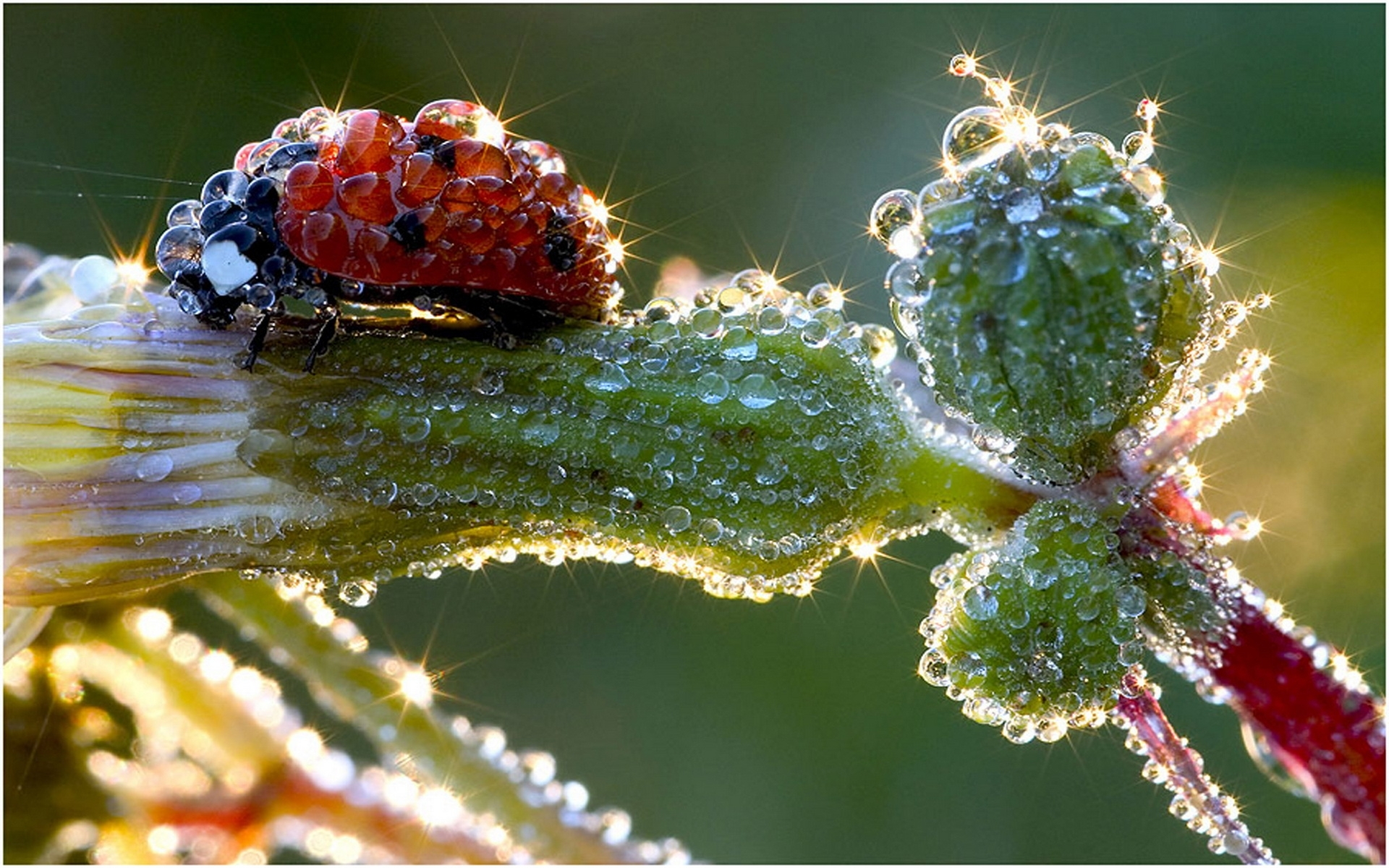 26009 download wallpaper Insects, Ladybugs, Drops screensavers and pictures for free
