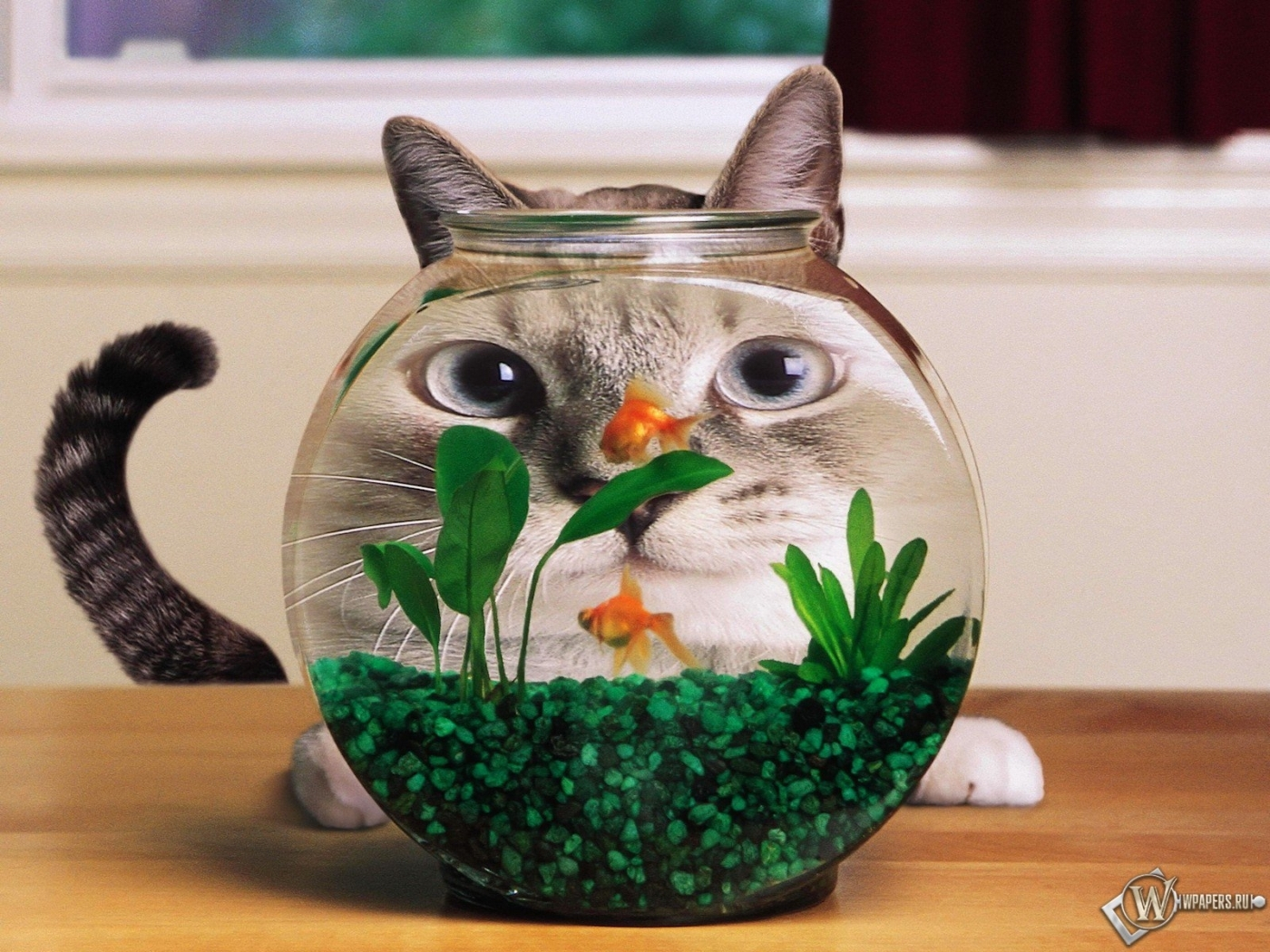 27750 download wallpaper Funny, Animals, Cats, Aquariums screensavers and pictures for free
