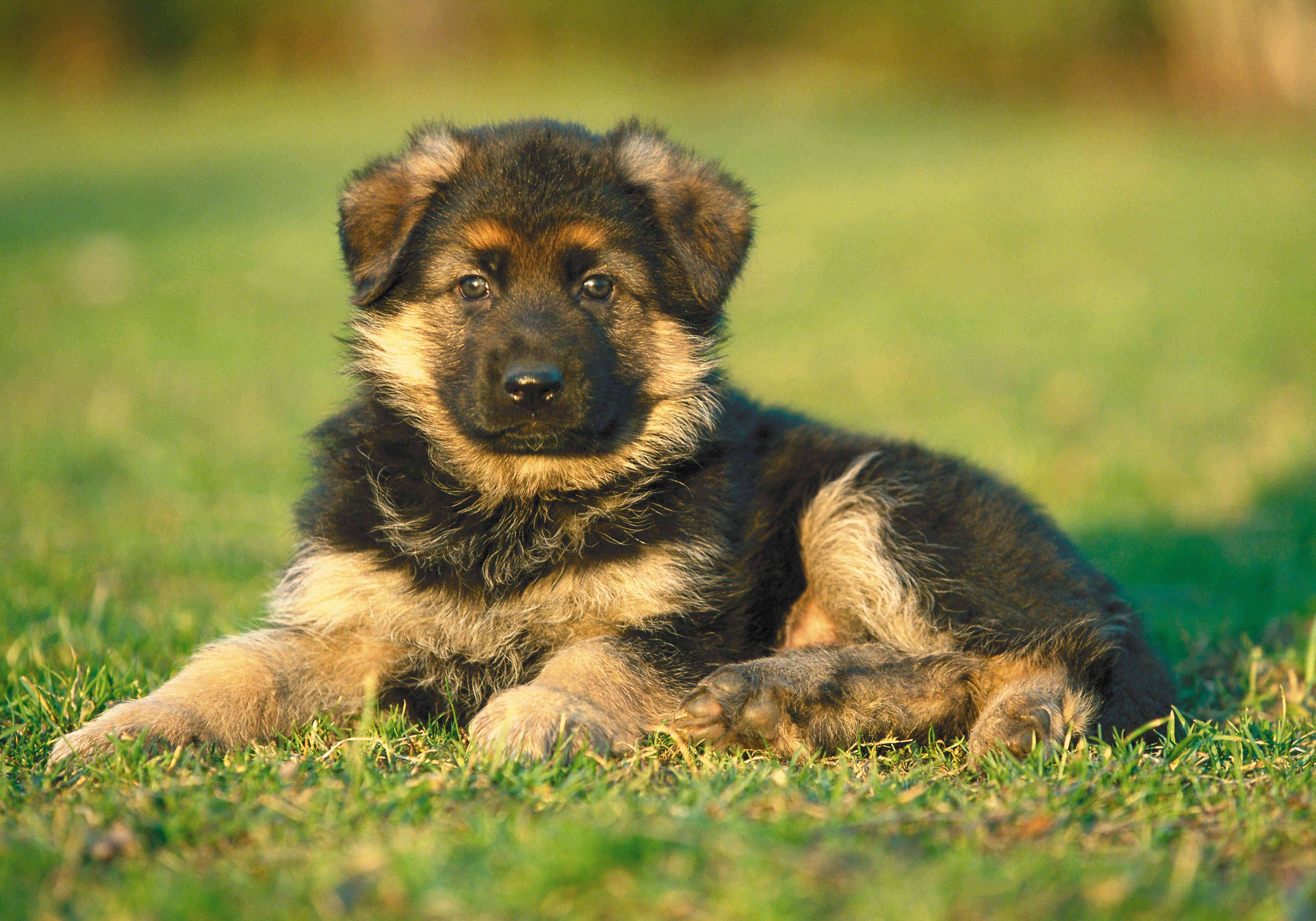 147556 Screensavers and Wallpapers Puppy for phone. Download Animals, Grass, Dog, Puppy pictures for free