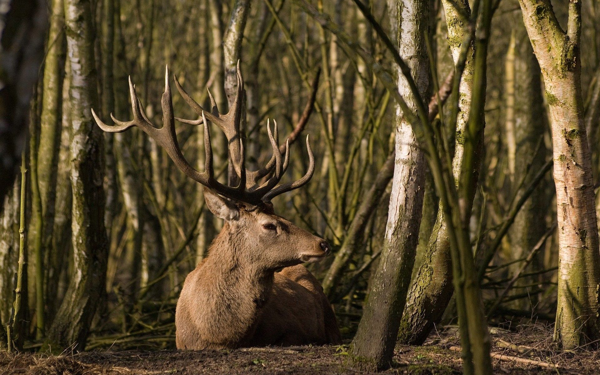 61675 Screensavers and Wallpapers Deer for phone. Download Deer, Animals, Trees, Grass, Forest, To Lie Down, Lie pictures for free