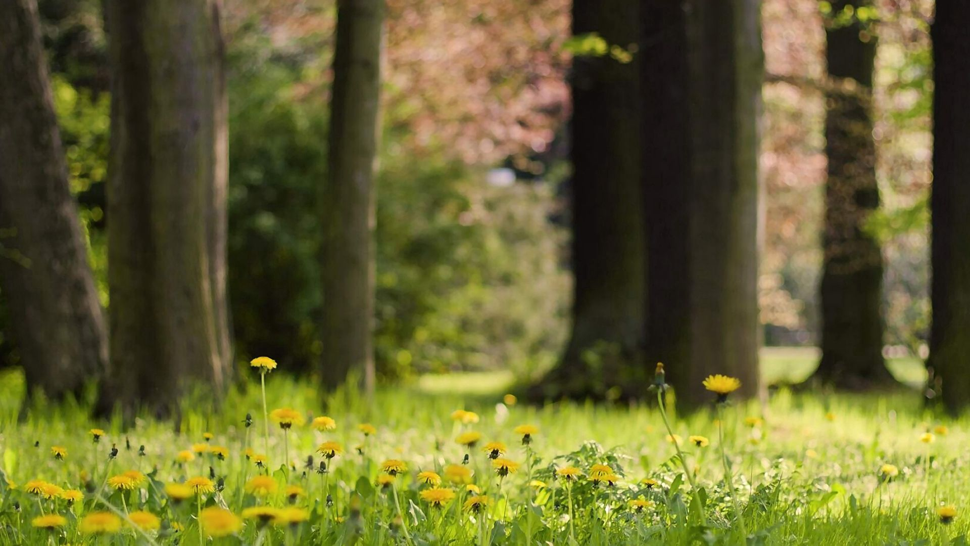 138823 download wallpaper Nature, Flowers, Grass, Dandelions screensavers and pictures for free