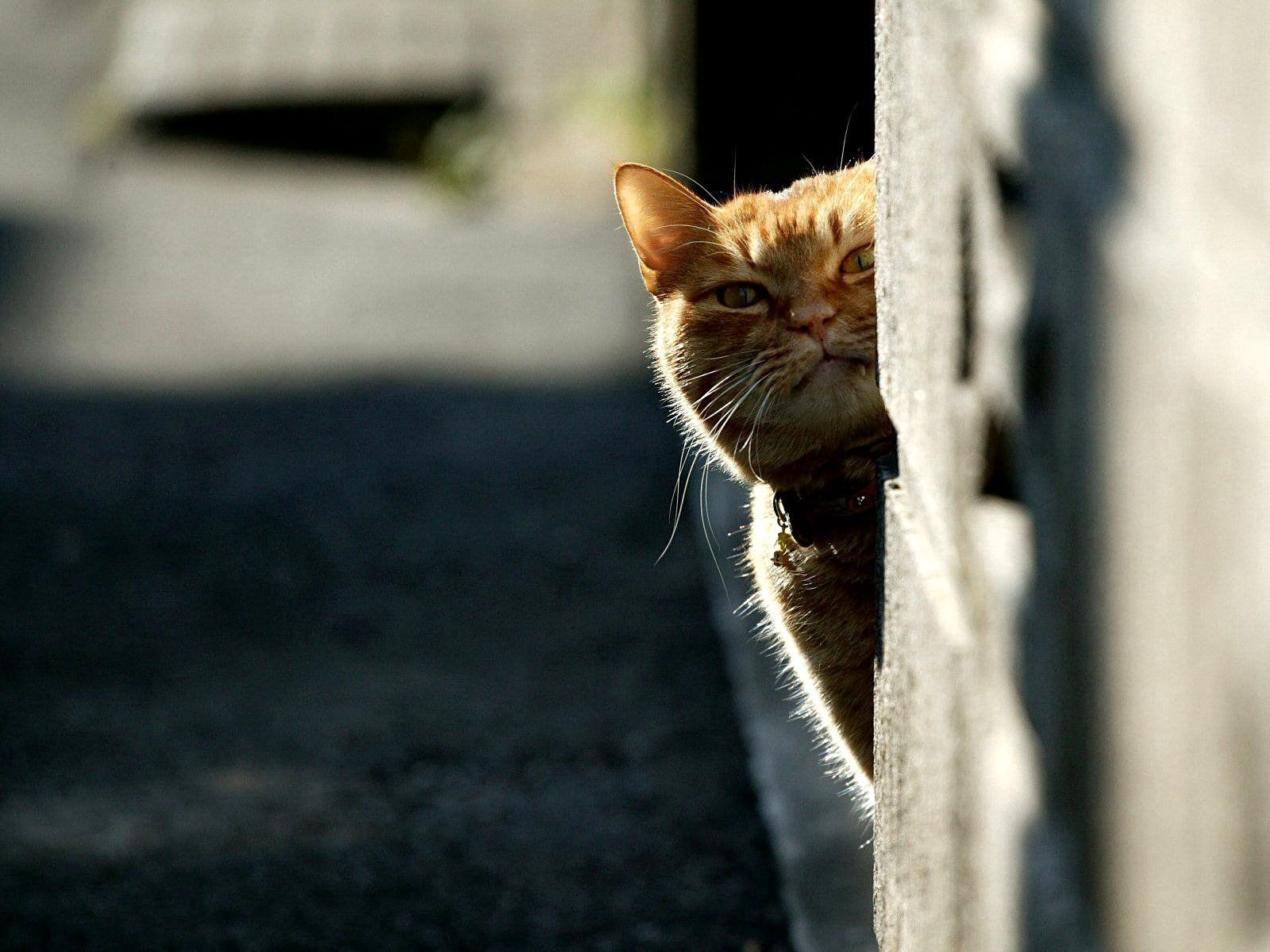 81200 download wallpaper Animals, Cat, Peek Out, Look Out, Shine, Light screensavers and pictures for free