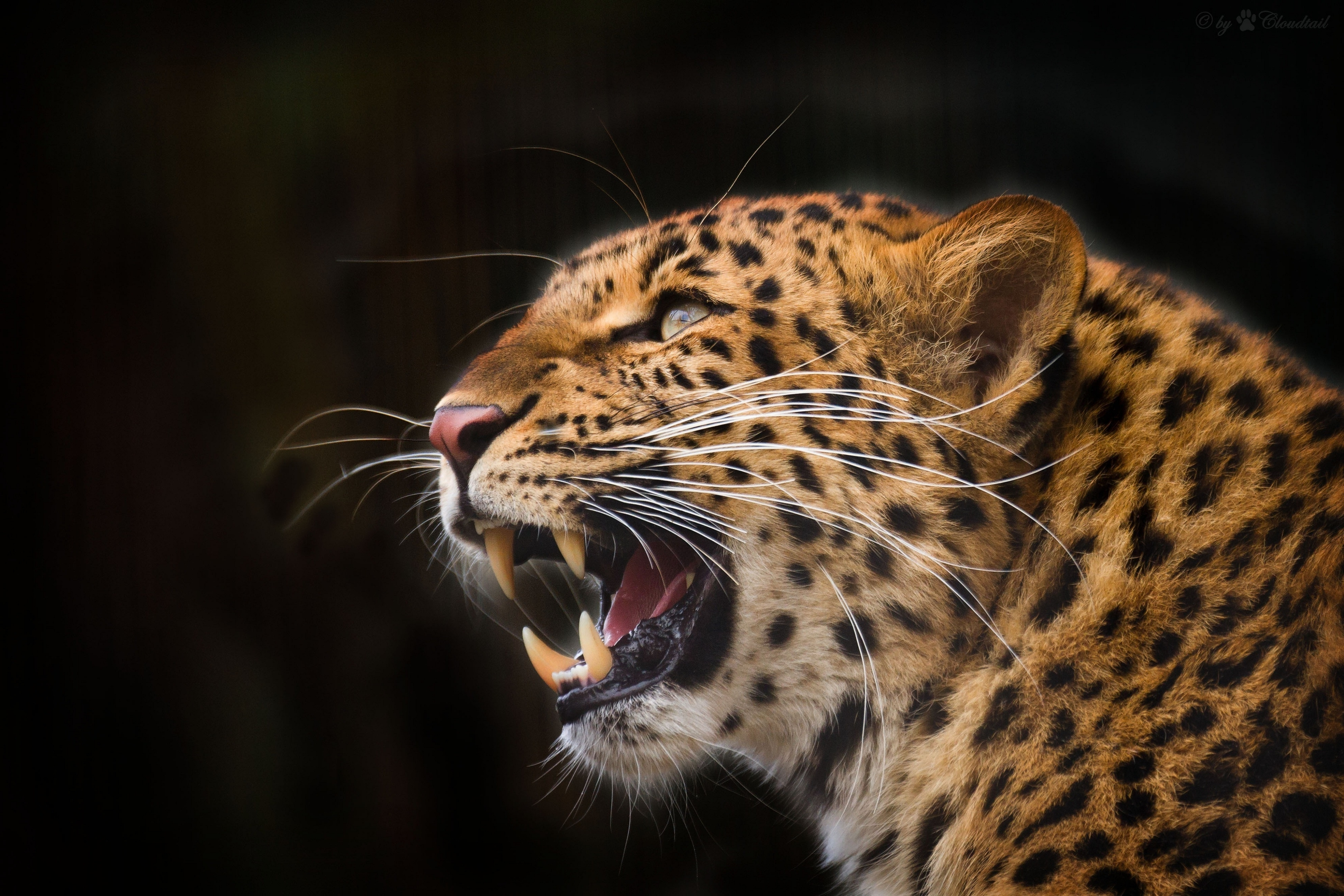 72289 download wallpaper Animals, Leopard, Predator, To Fall, Mouth, Grin, Fangs, Black Background screensavers and pictures for free