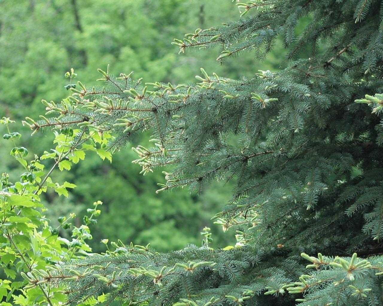 444 скачать обои Растения, Деревья, Иголки, Елки - заставки и картинки бесплатно