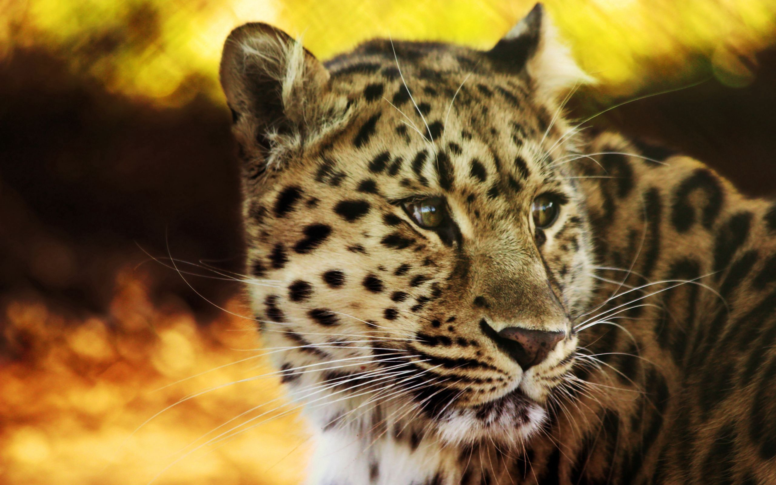 156079 download wallpaper Animals, Leopard, Muzzle, Spotted, Spotty, Big Cat, Predator screensavers and pictures for free