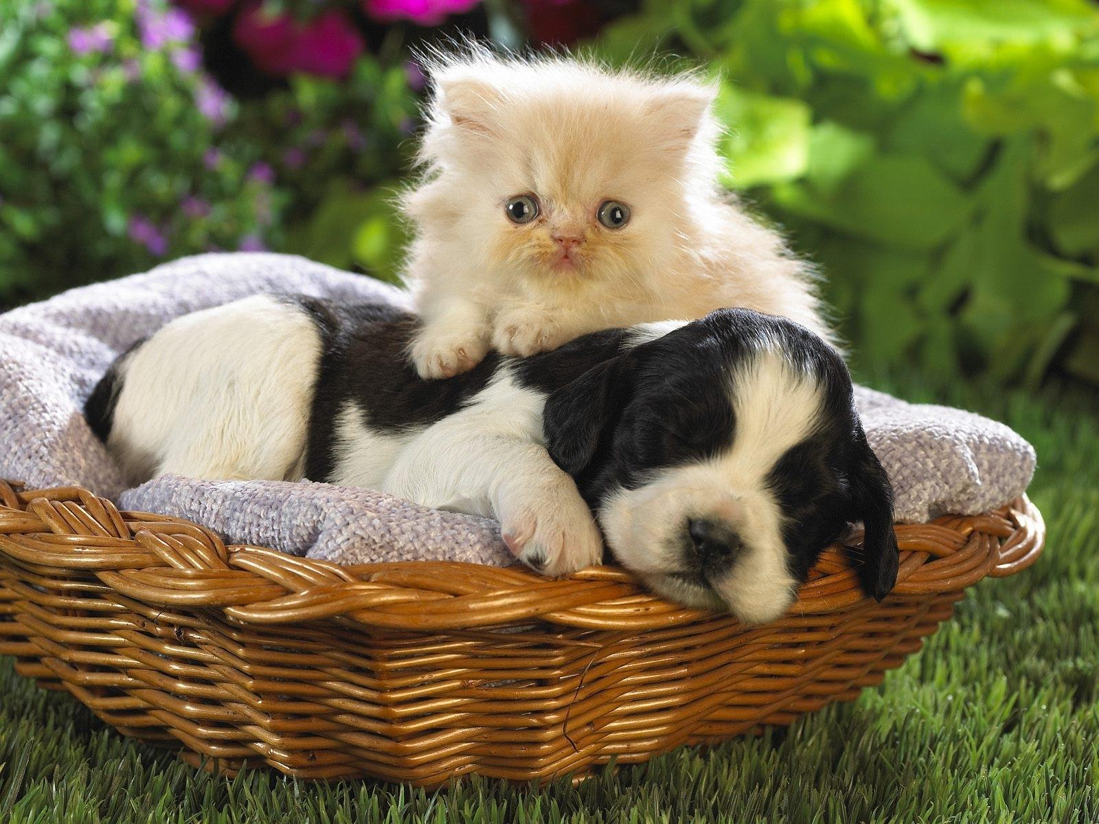 13239 обои 240x320 на телефон бесплатно, скачать картинки Кошки (Коты, Котики), Собаки, Животные 240x320 на мобильный