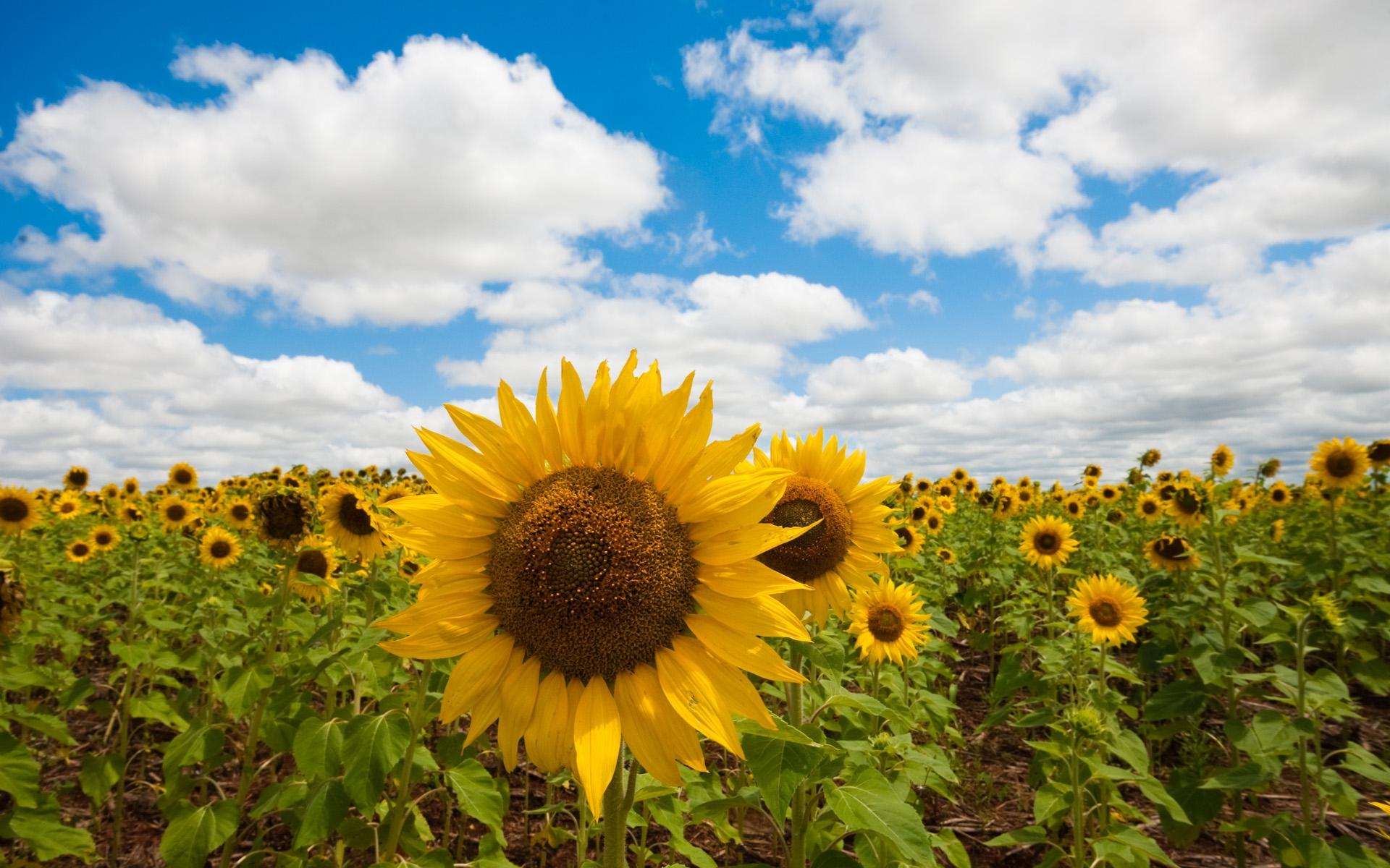 37843 скачать обои Растения, Цветы, Подсолнухи - заставки и картинки бесплатно