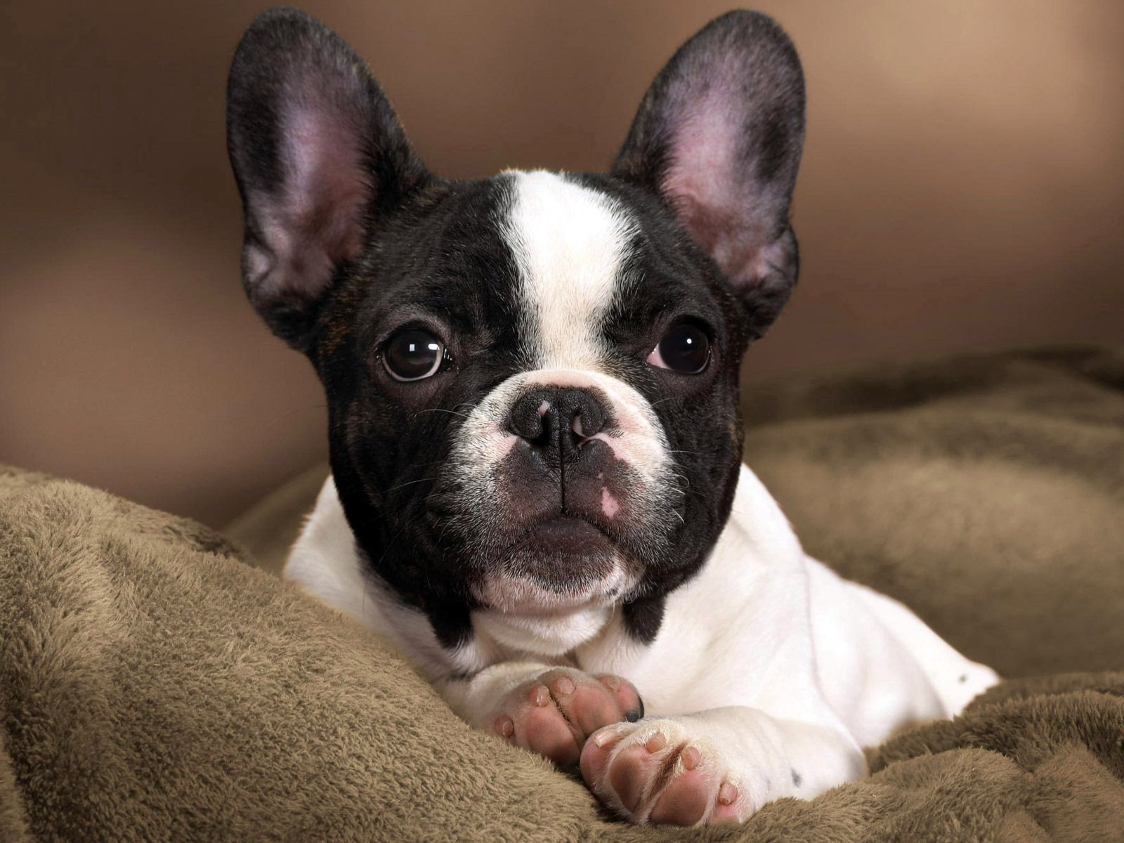 62614 download wallpaper Animals, Dog, Muzzle, Bulldog, Spotted, Spotty screensavers and pictures for free
