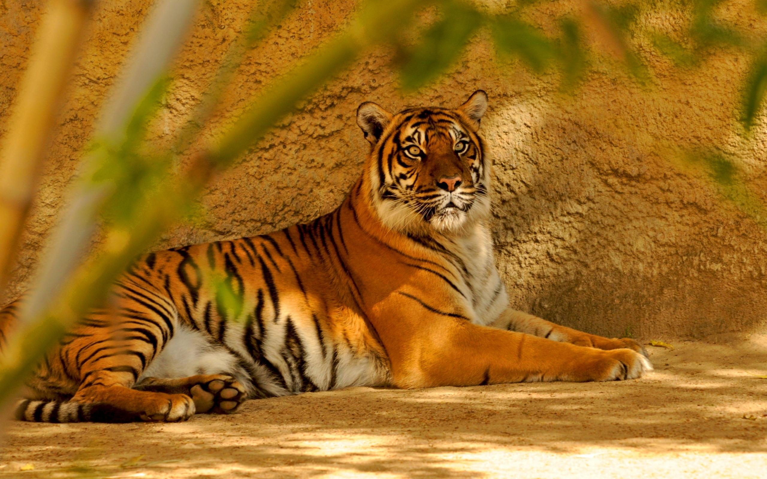 49160 descargar fondo de pantalla Animales, Tigres: protectores de pantalla e imágenes gratis
