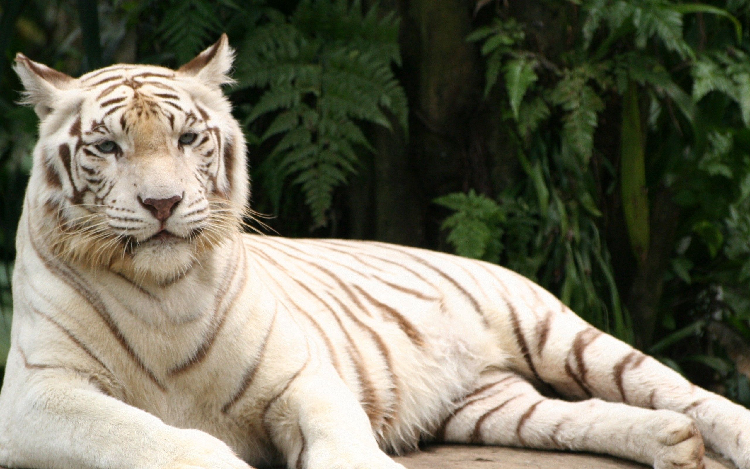 155776 download wallpaper Animals, Tiger, Albino, To Lie Down, Lie, Striped, Predator screensavers and pictures for free