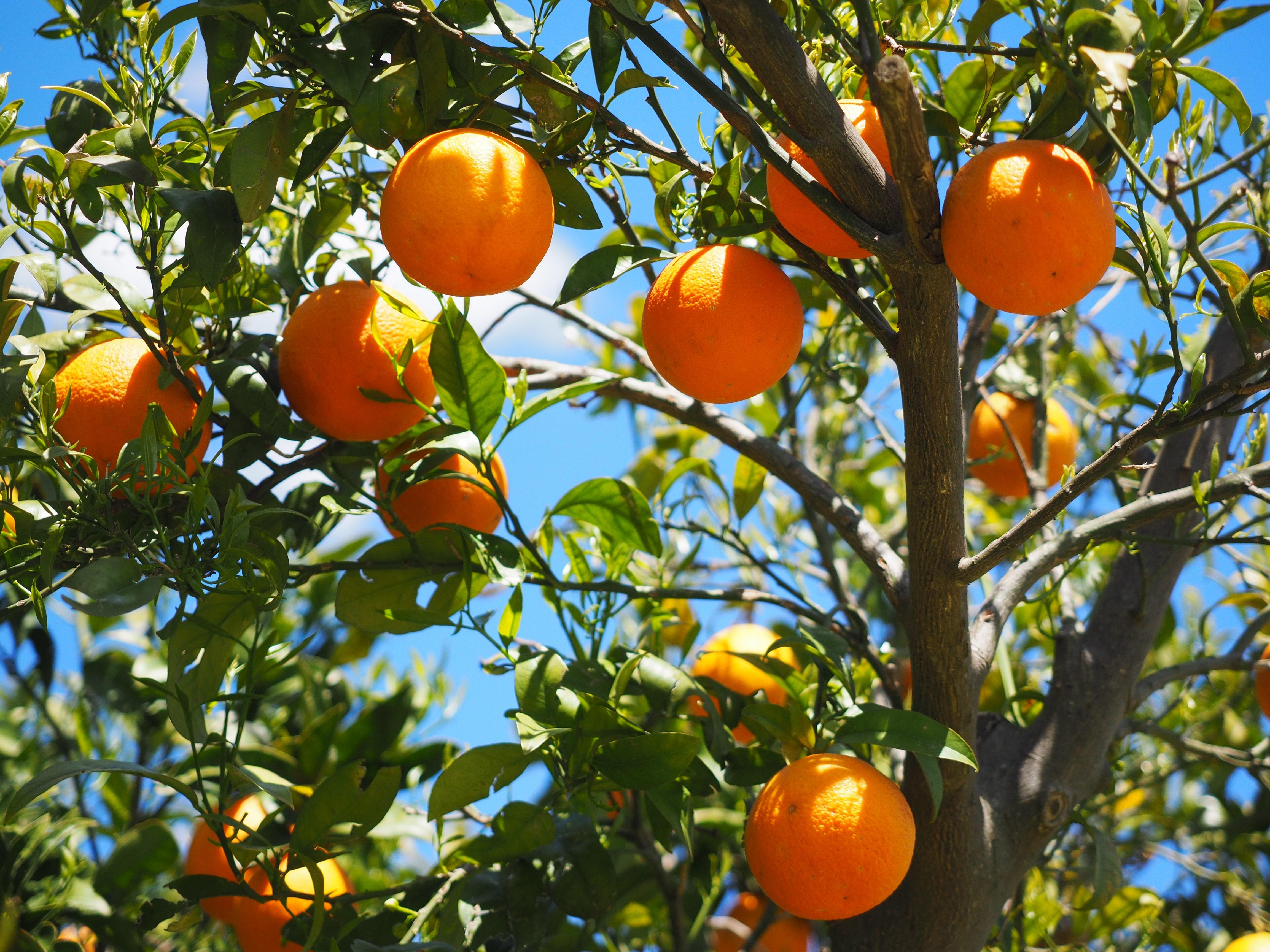 81234 Заставки и Обои Еда на телефон. Скачать Апельсины, Еда, Фрукты, Цитрусы, Апельсиновое Дерево картинки бесплатно