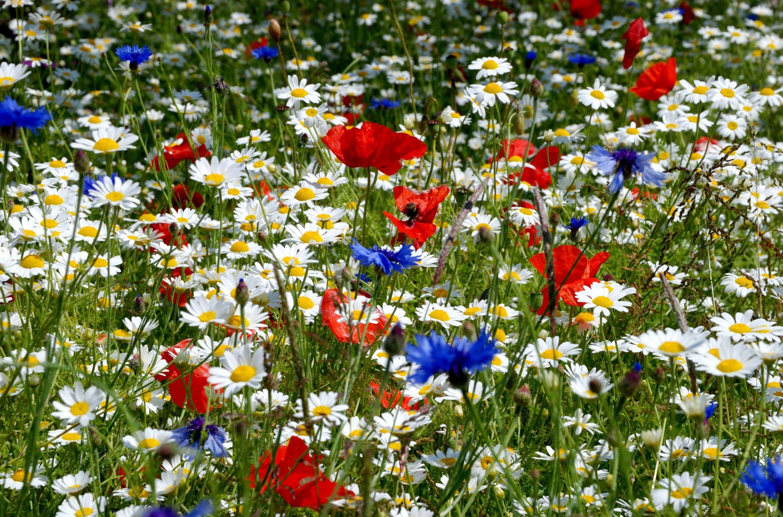 51541 скачать обои Цветы, Ромашки, Маки, Васильки, Колосья, Поляна, Лето - заставки и картинки бесплатно