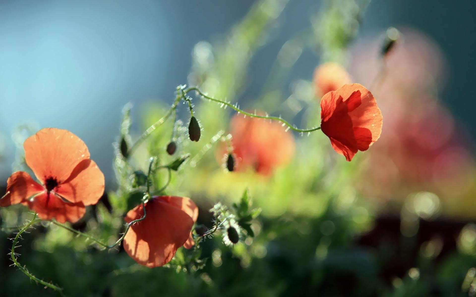 43874 скачать обои Растения, Цветы, Маки - заставки и картинки бесплатно