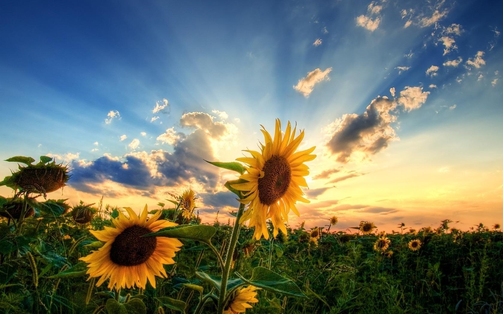 39893 descargar fondo de pantalla Plantas, Flores, Girasoles: protectores de pantalla e imágenes gratis