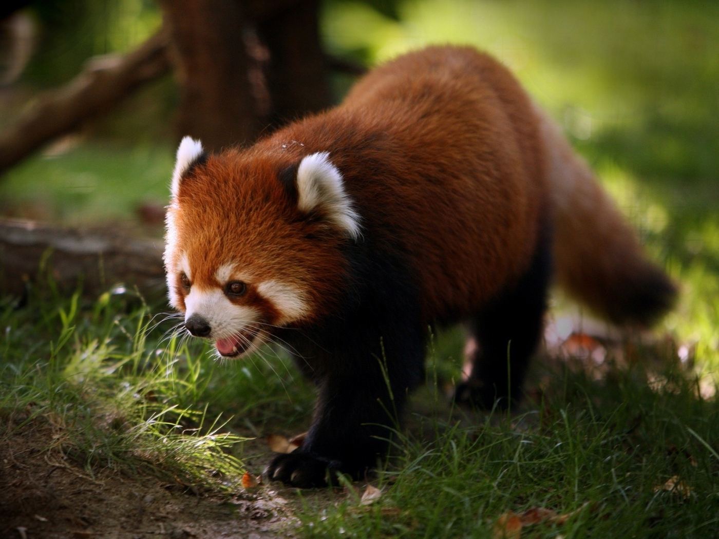 33088 download wallpaper Animals, Pandas screensavers and pictures for free