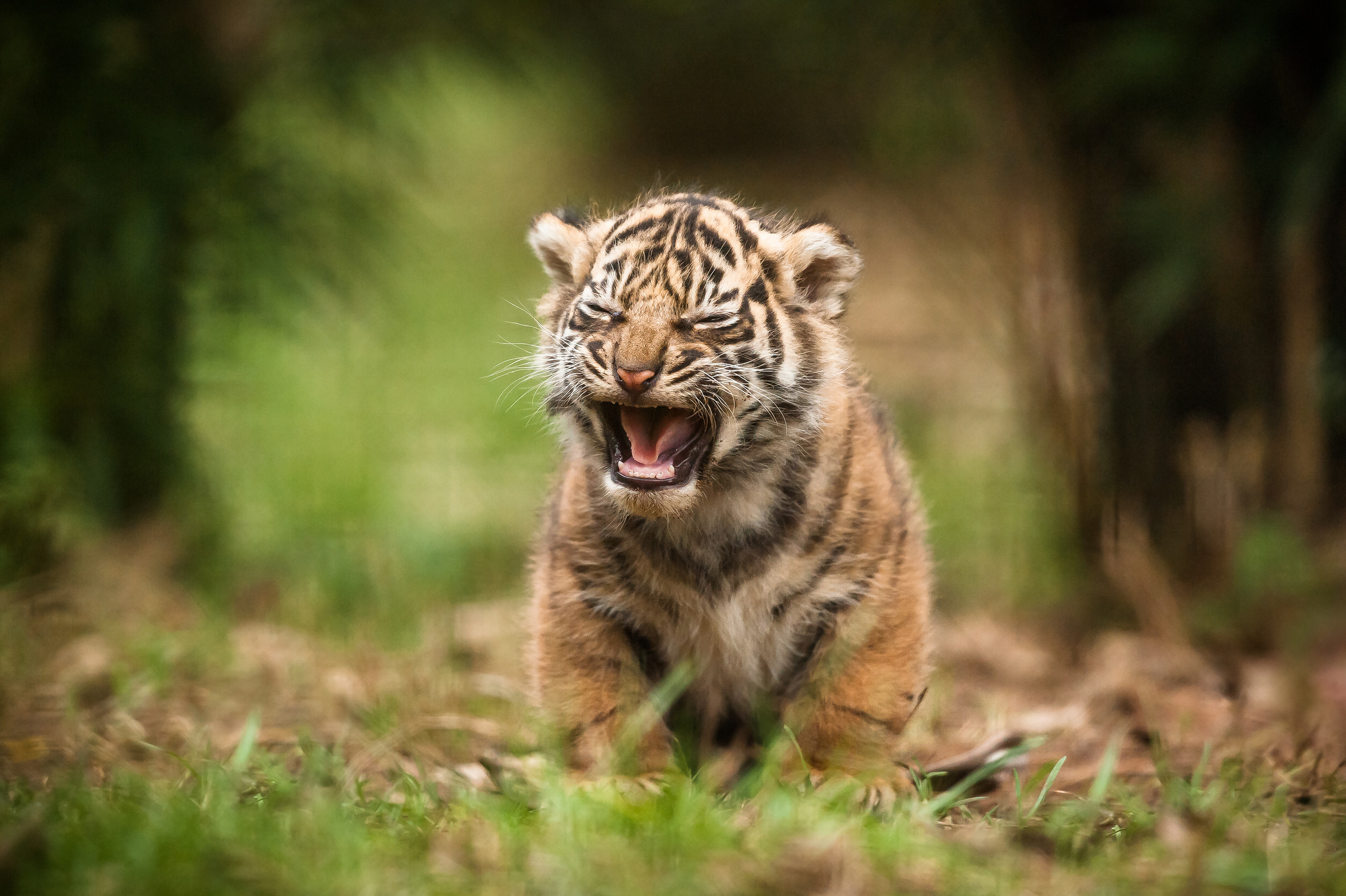 72760 download wallpaper Animals, Tiger, Young, Joey, Scream, Cry, Blur, Smooth screensavers and pictures for free