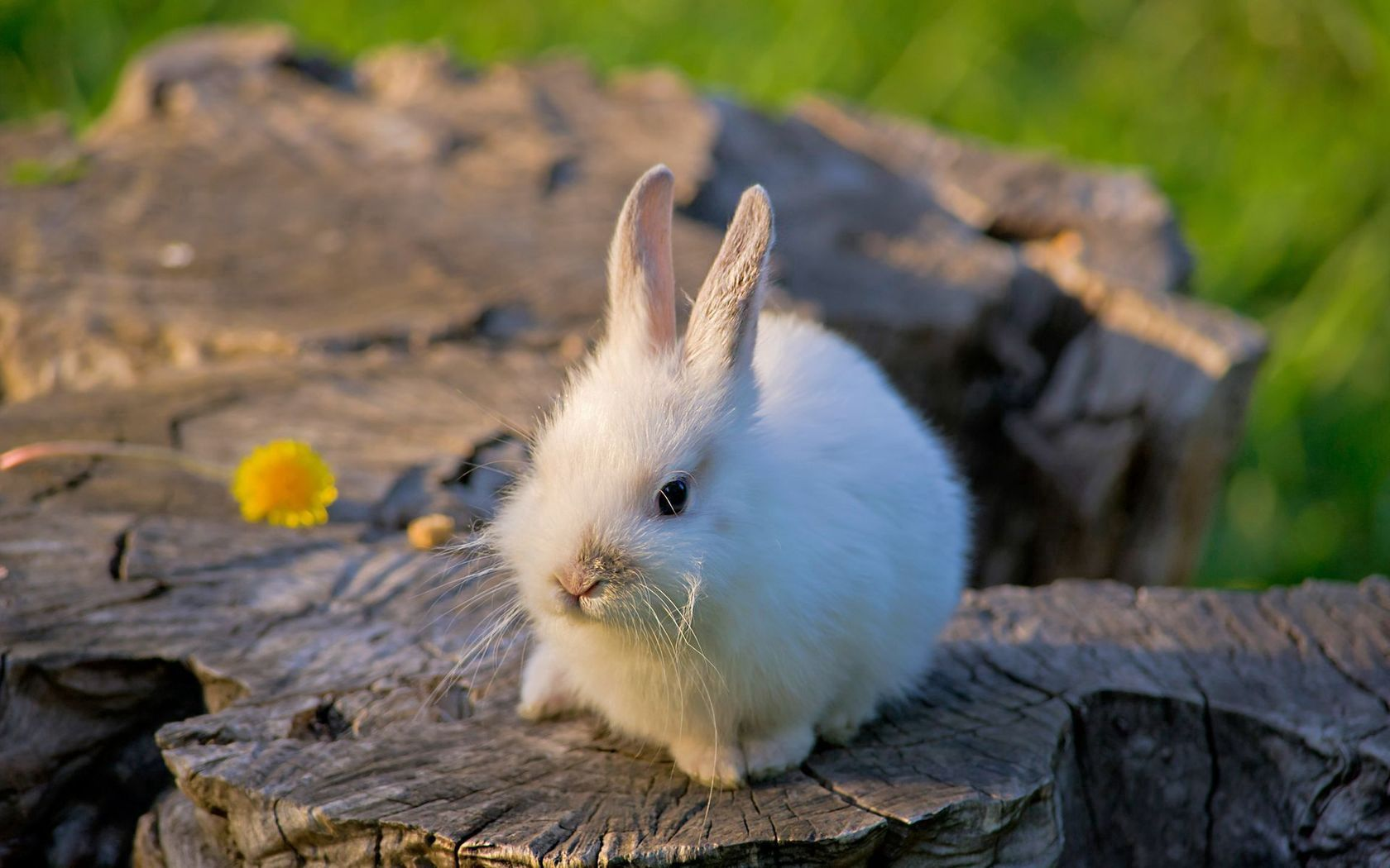 150378 download wallpaper Animals, Rabbit, Stump, Penek, Light Coloured, Light, Flower, Nice, Sweetheart screensavers and pictures for free