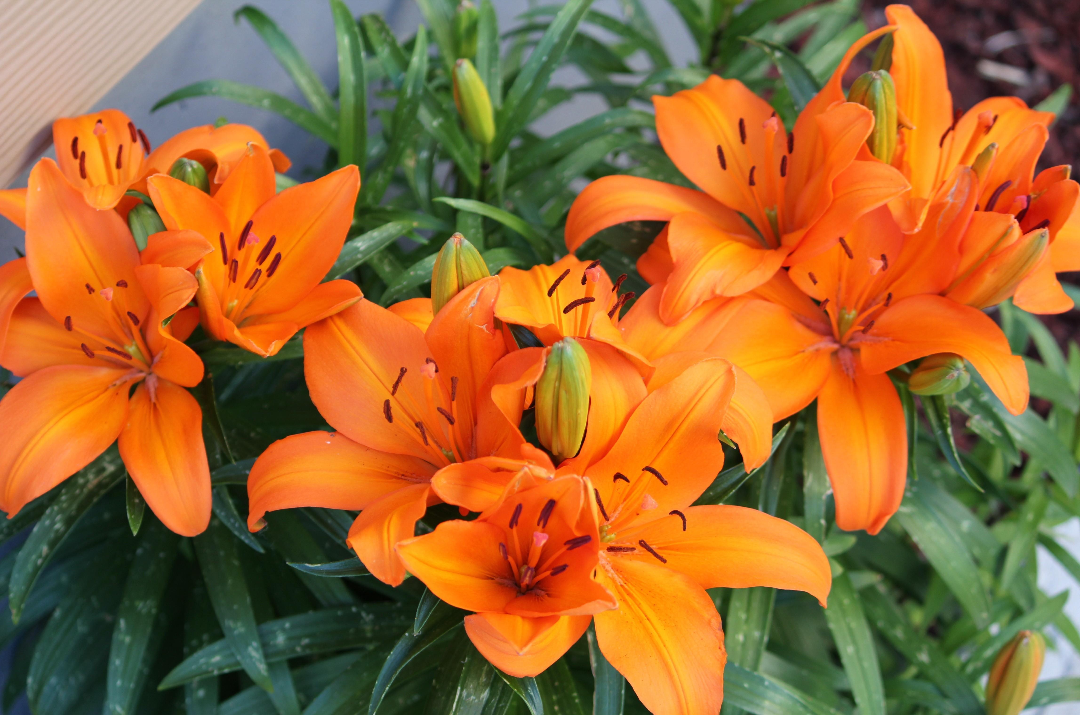 147987 télécharger le fond d'écran Fleurs, Lilies, Brillant - économiseurs d'écran et images gratuitement