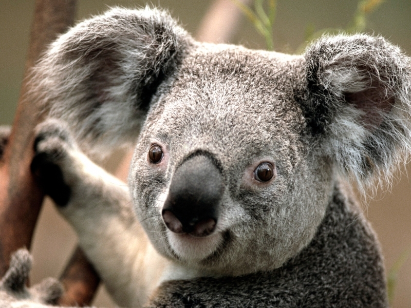 41186 download wallpaper Animals, Koalas screensavers and pictures for free