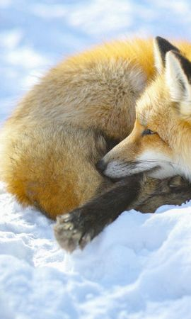 62211 download wallpaper Animals, Fox, Snow, To Lie Down, Lie screensavers and pictures for free