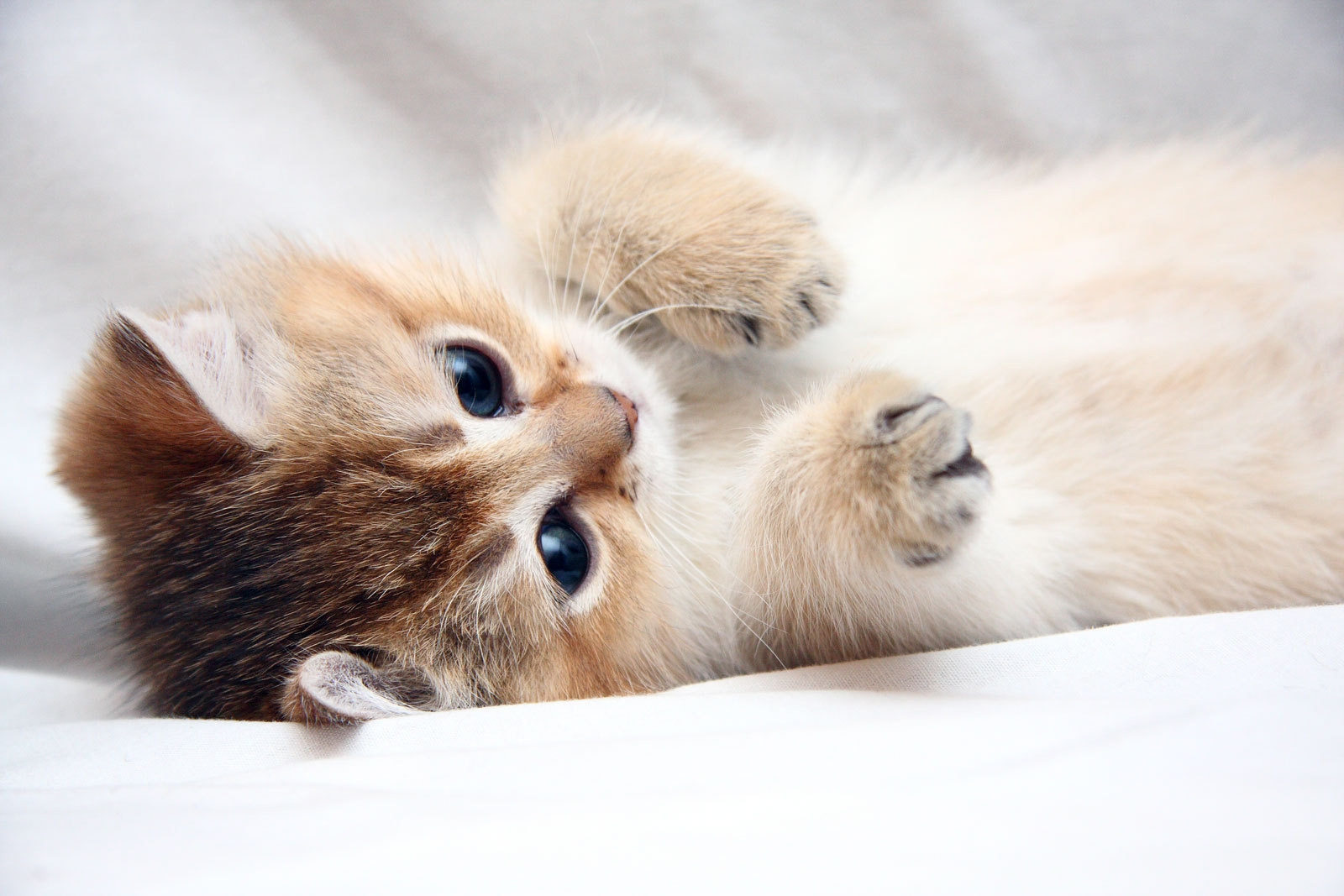 63462 Screensavers and Wallpapers Nice for phone. Download Animals, Cat, Kitty, Kitten, Muzzle, Nice, Sweetheart, Paw pictures for free