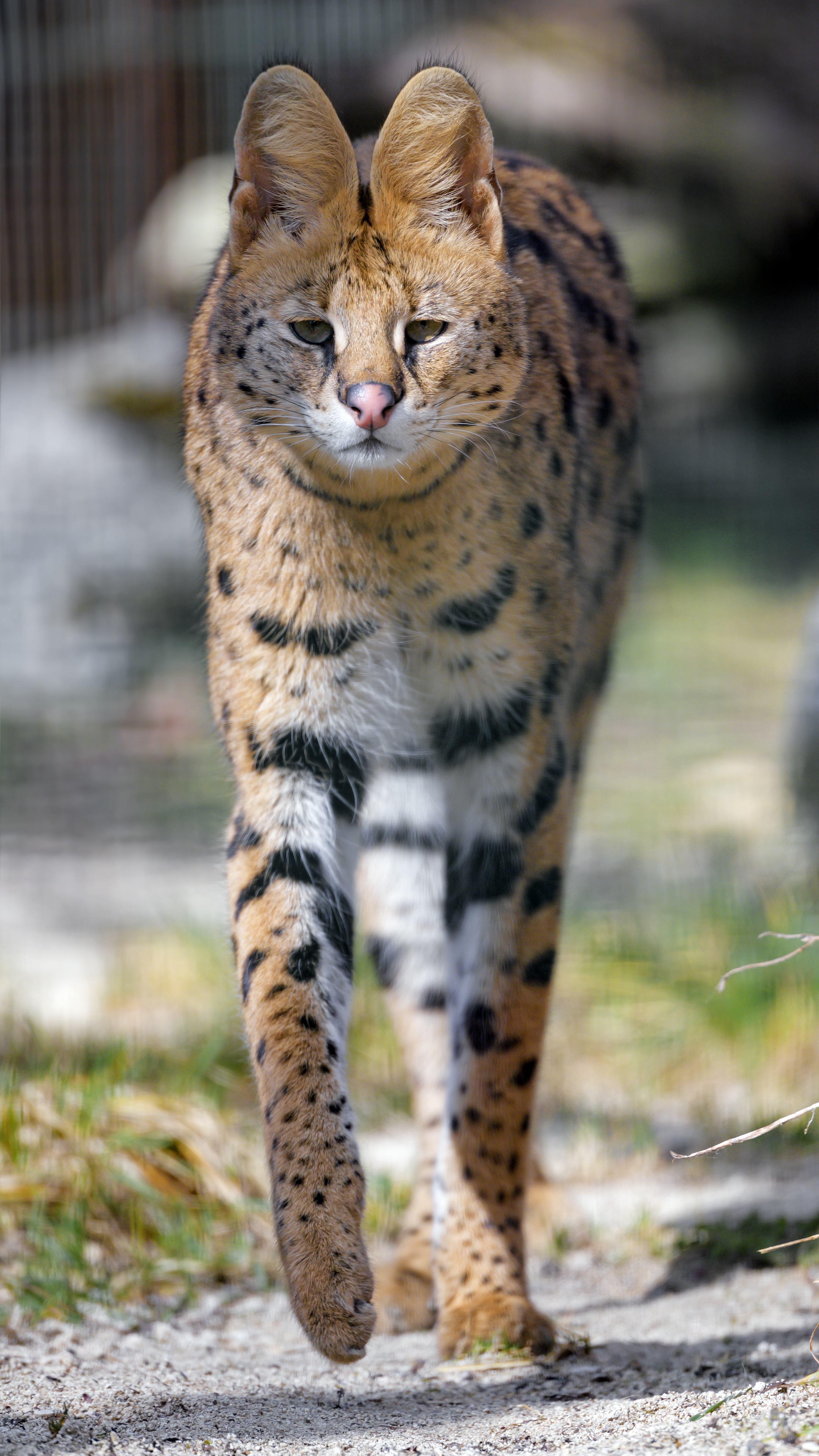 76603 download wallpaper Animals, Serval, Predator, Animal, Sight, Opinion, Big Cat screensavers and pictures for free